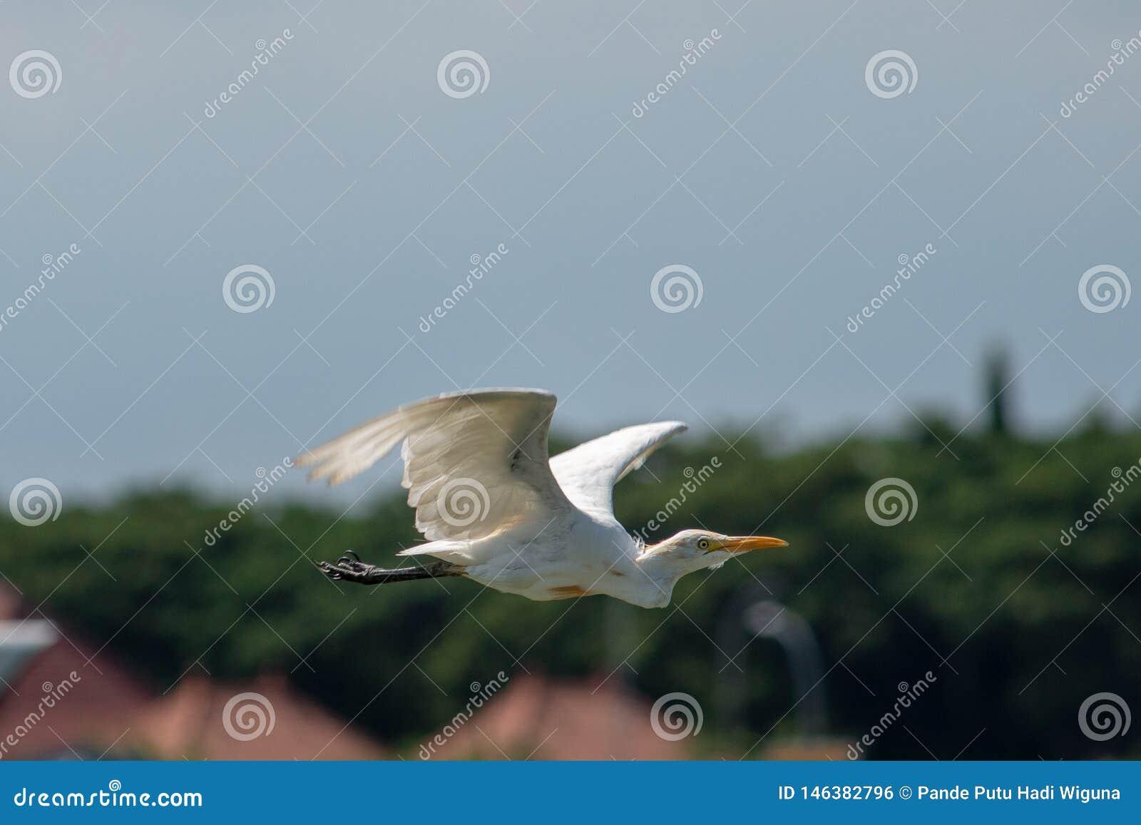 Fågel för nötkreaturägretthäger som bara flyger med suddighetsbakgrund