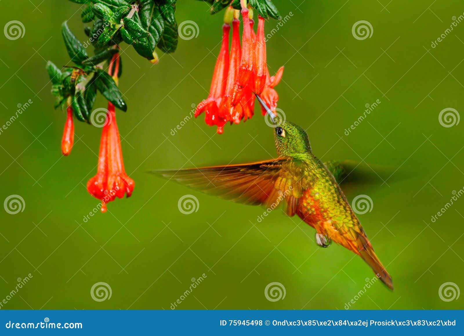 Fågel från Peru Apelsin och gräsplanfågel i skogen med den röda blomman Kolibri Kastanj-gången mot krona i skogen Hummingb