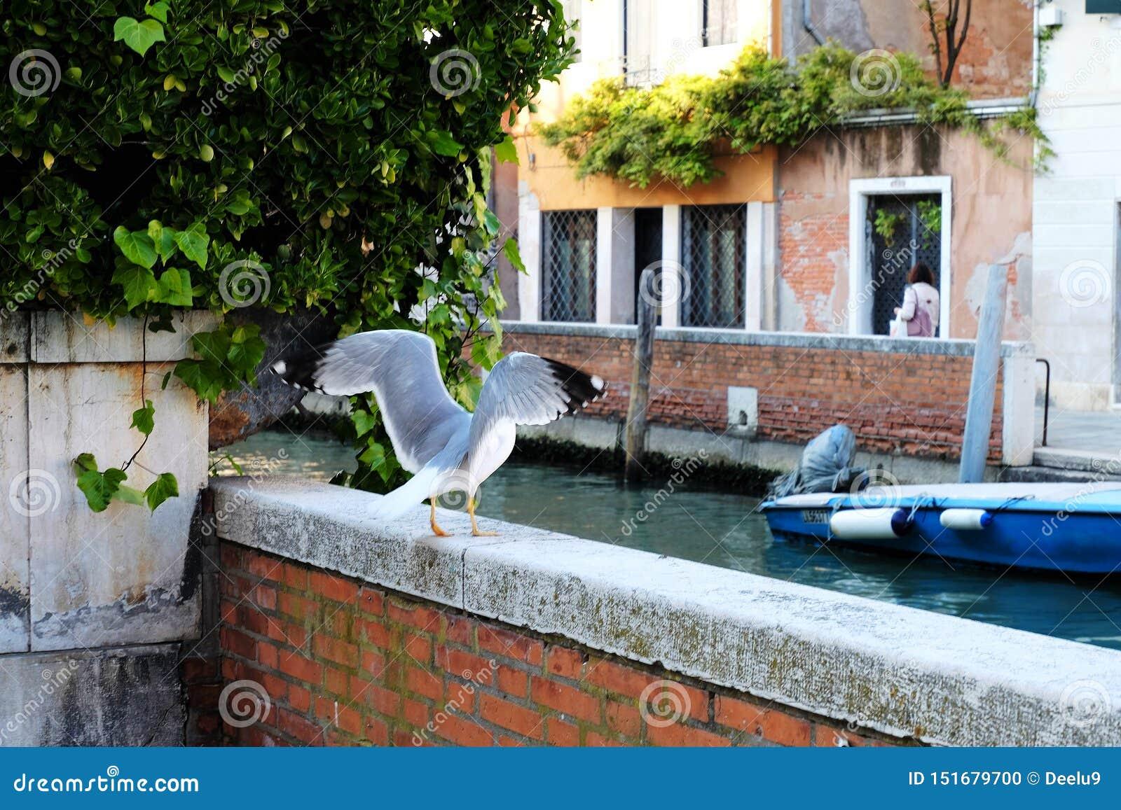 Fågel i Venedig, Italien som får upp för ett flyg