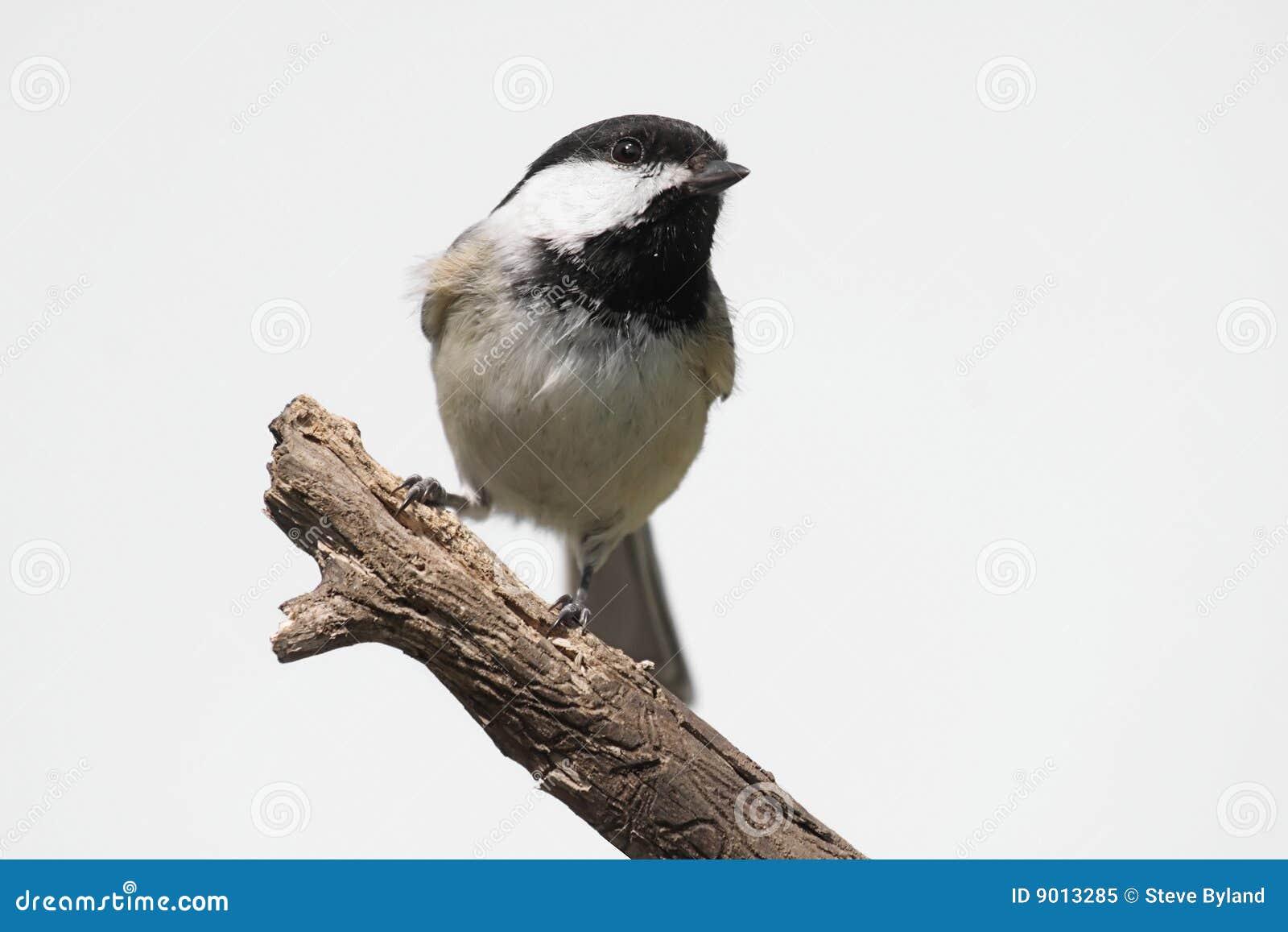 Fågel isolerad stubbe
