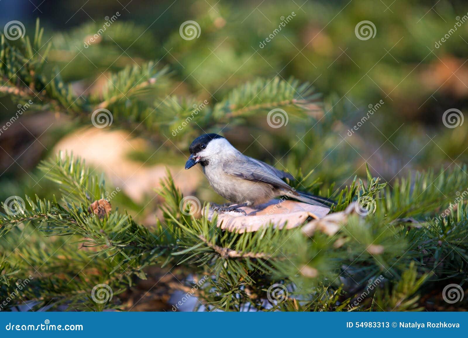 Fågel som pickar på frö på snön