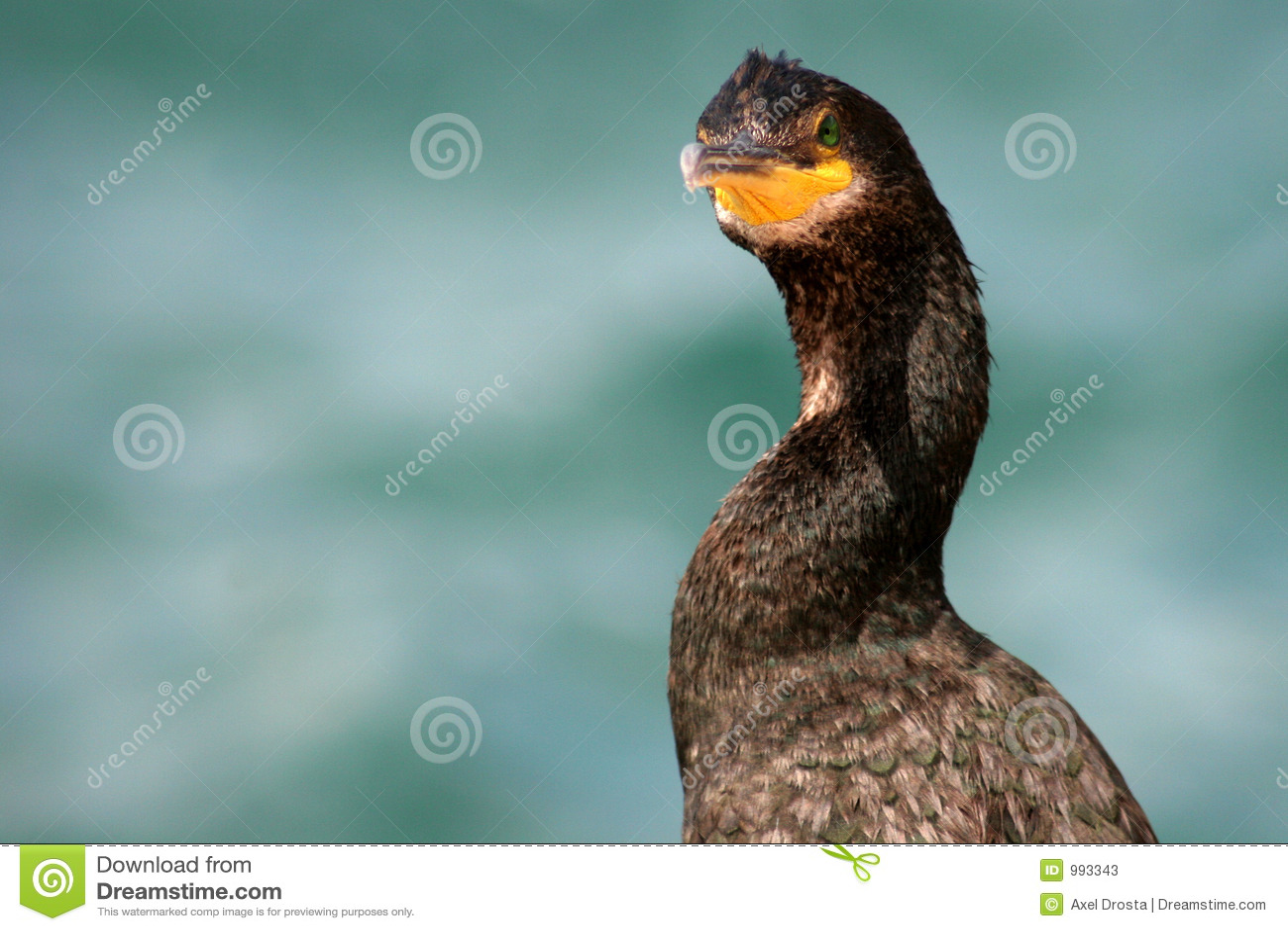 Fågelcormorant
