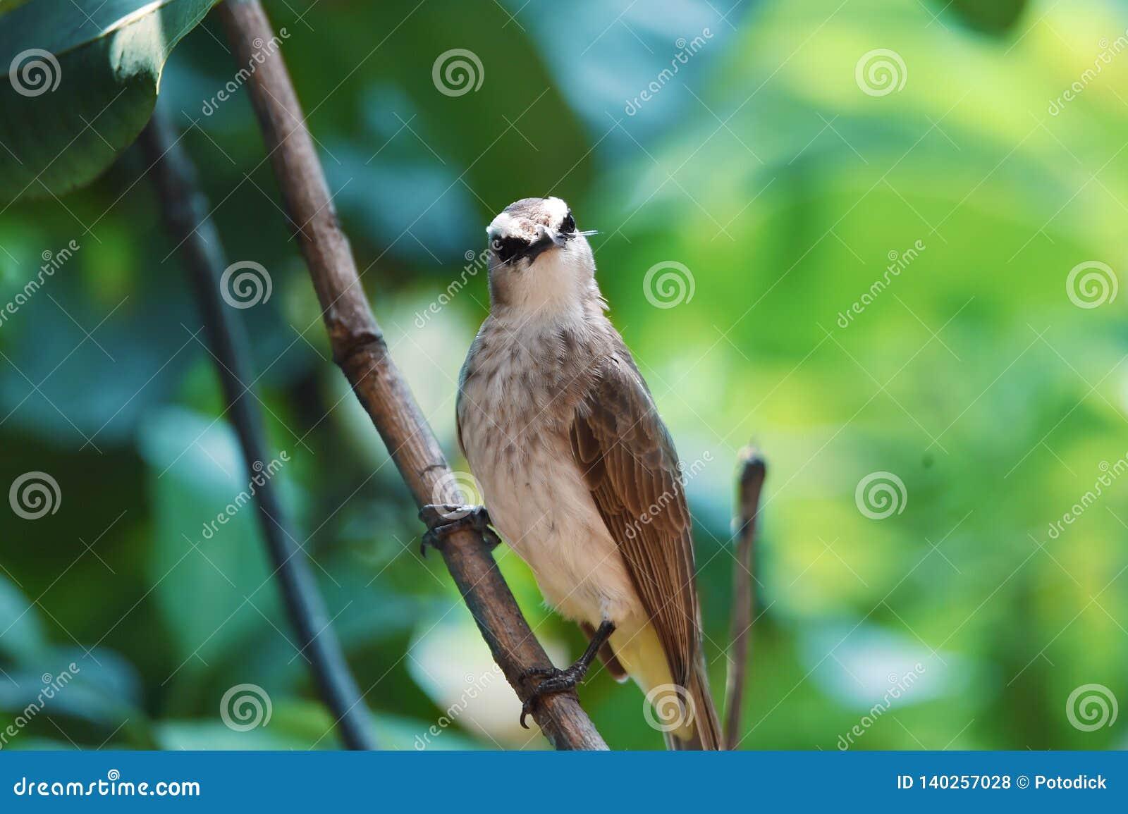 Fågelfinkarna färgen av den svarta bröstkorgviten på trädfilialen
