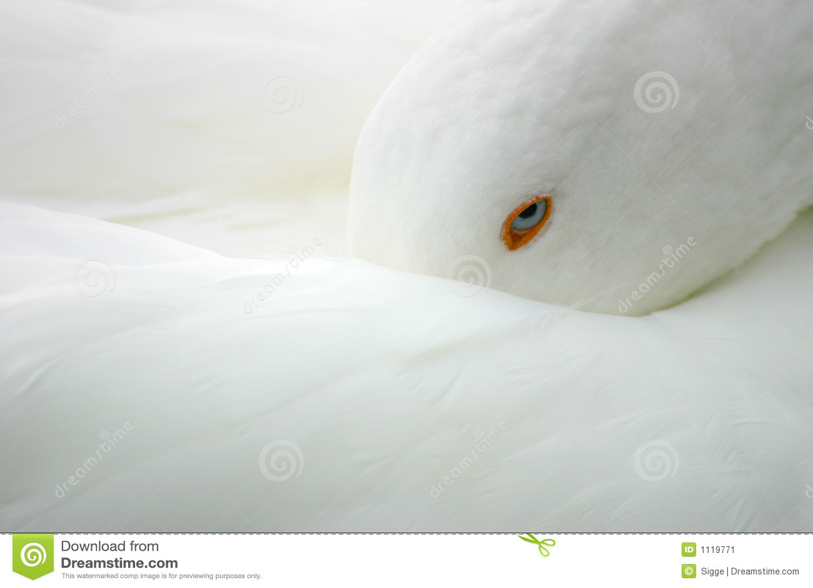 Fågelgåswhite