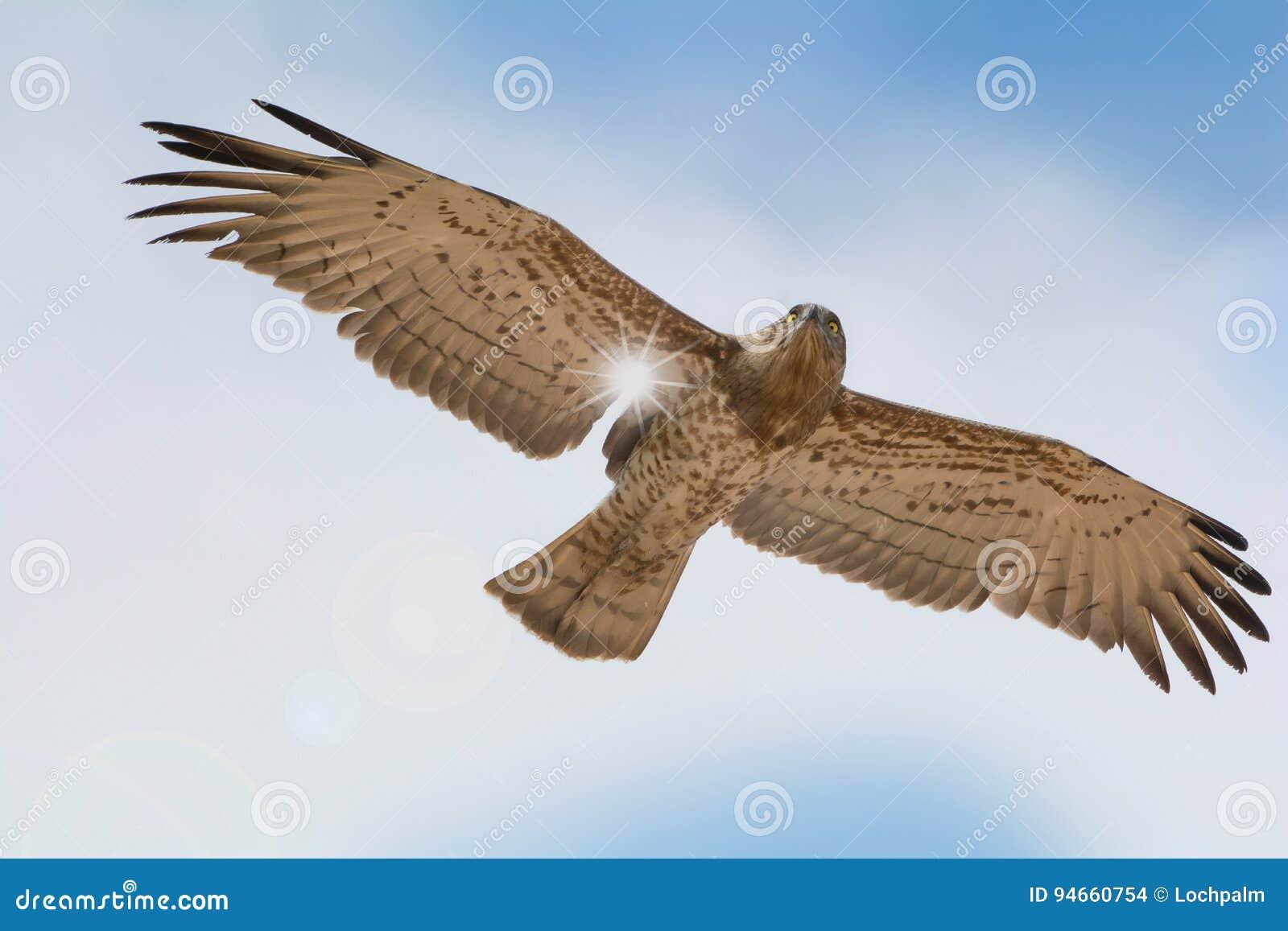Fågeln av rovet på blå himmel fördunklar i flykten bakgrund