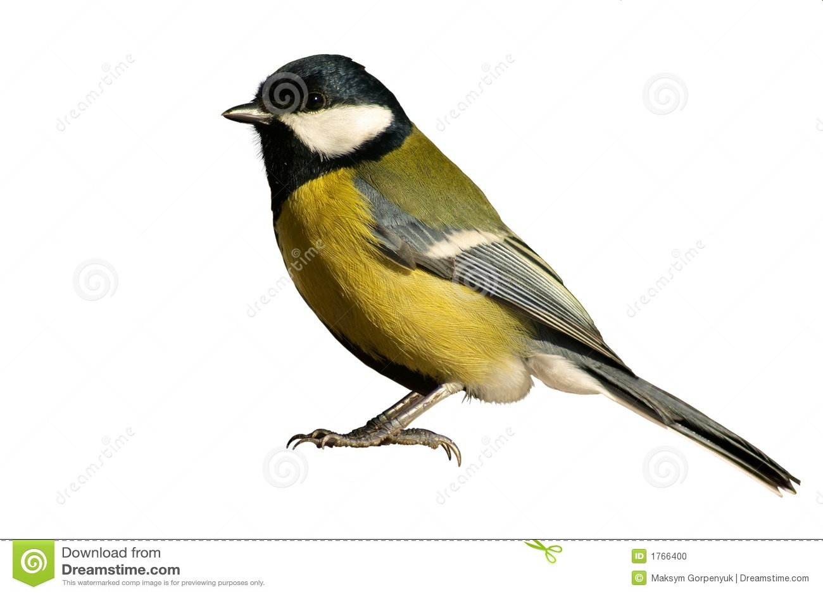 Fågeln isolerade tomtitwhite