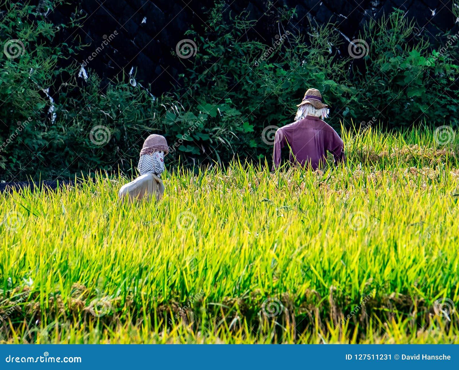Fågelskrämmor i risfälten