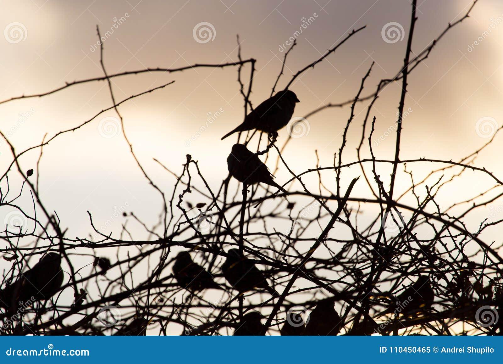 Fågelsparvar på ett träd på soluppgångsolen
