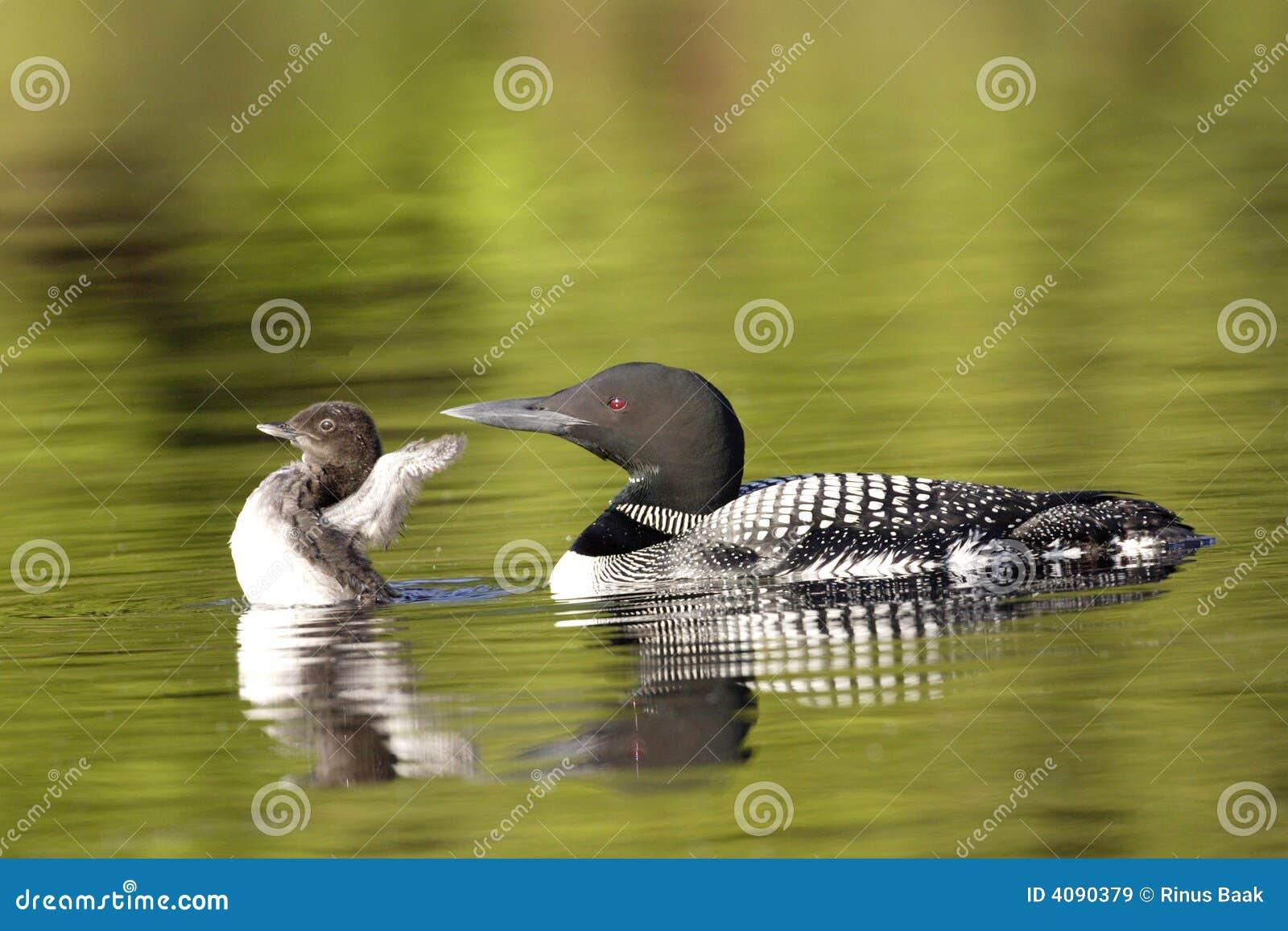 Fågelungecommonloon