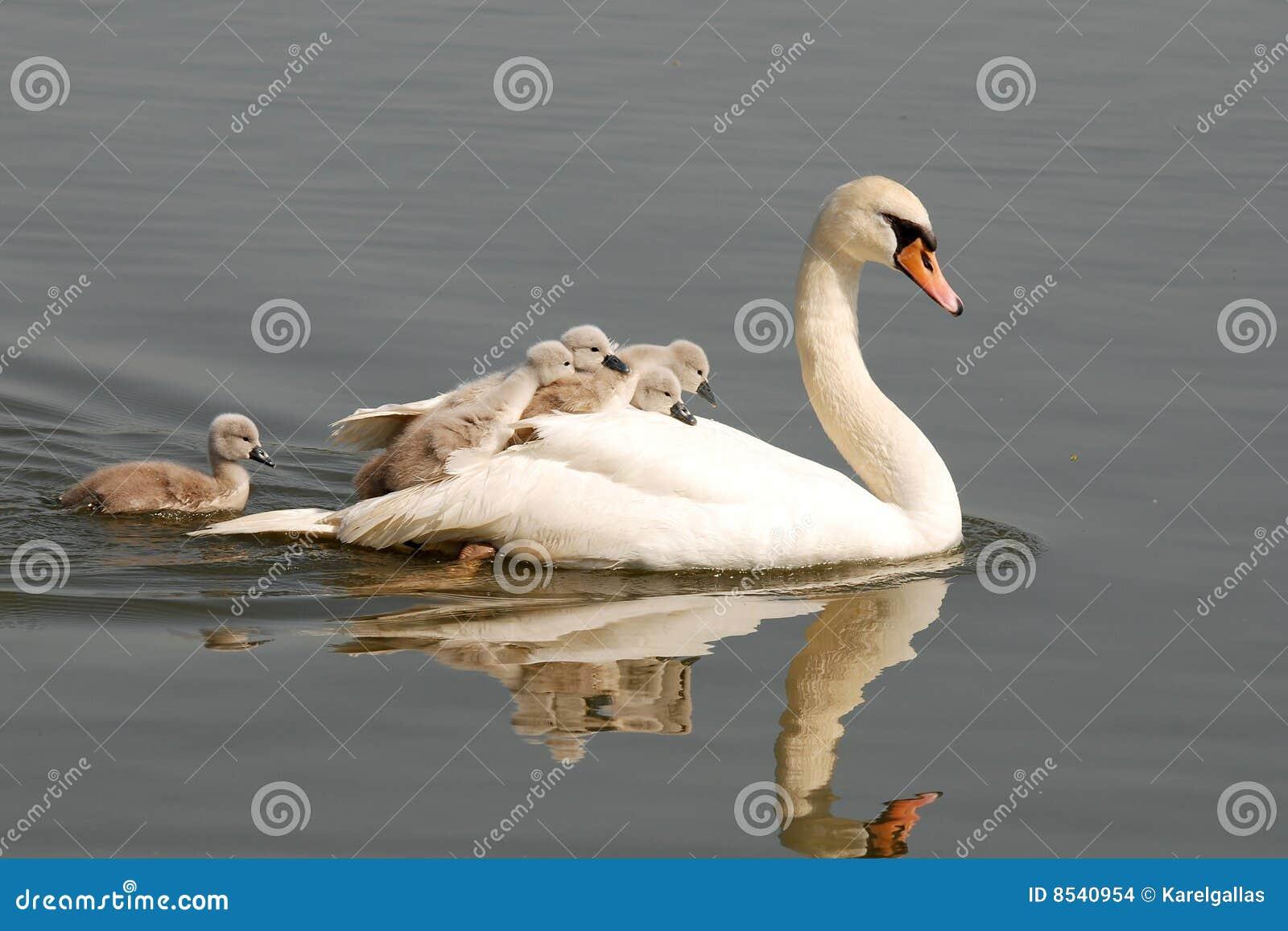 Fågelungeswan