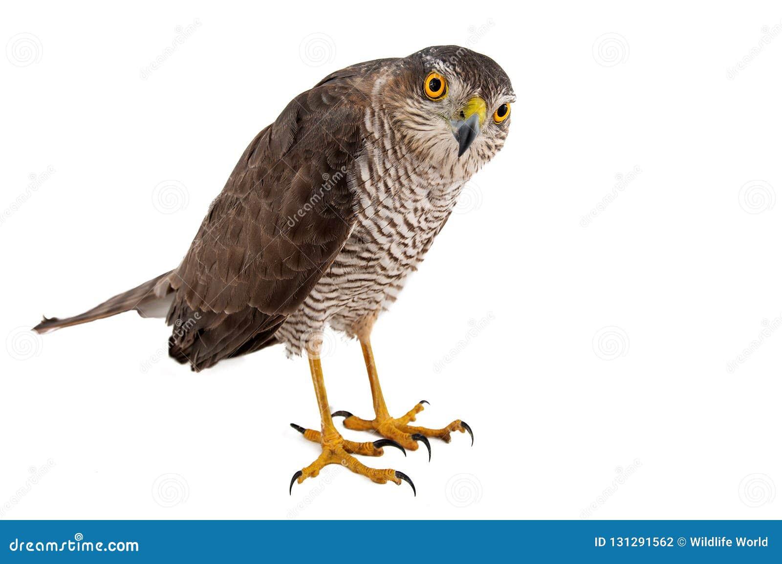 Fåglar av rovet - kvinnlig för nisus för EurasianSparrowhawk Accipiter Isolerat på vit