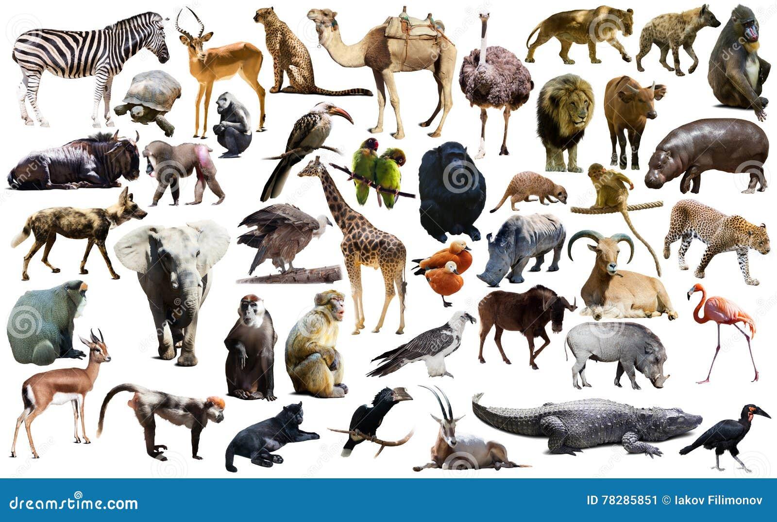 Fåglar, däggdjuret och andra djur av Afrika isolerade