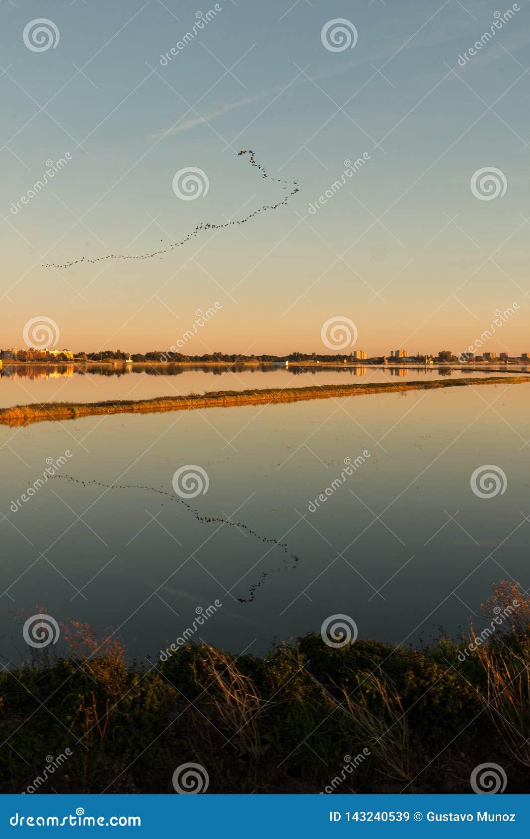 Fåglar i bildande med dess reflexion på vatten i den Albufera lagun, i naturligt parkerar av Albufera, Valencia, Spanien