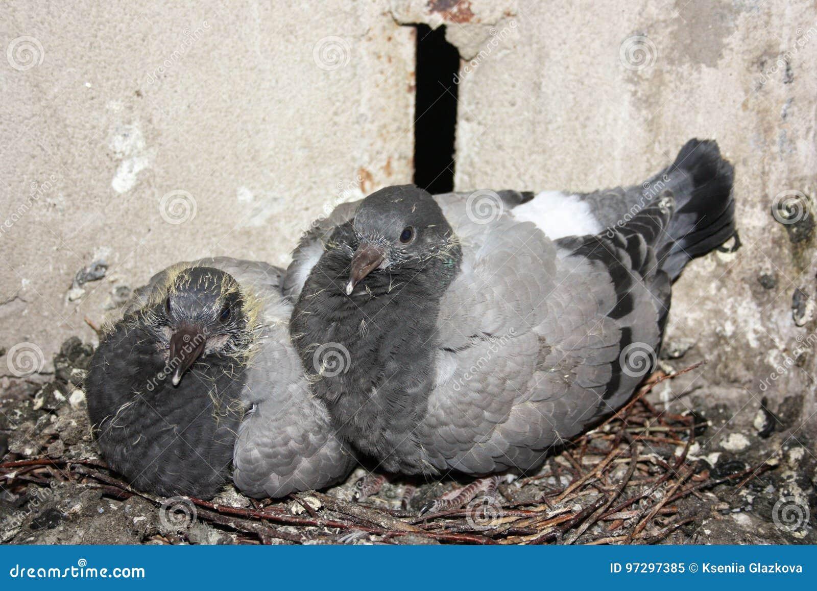 Fåglar i rededuvabarnen tre