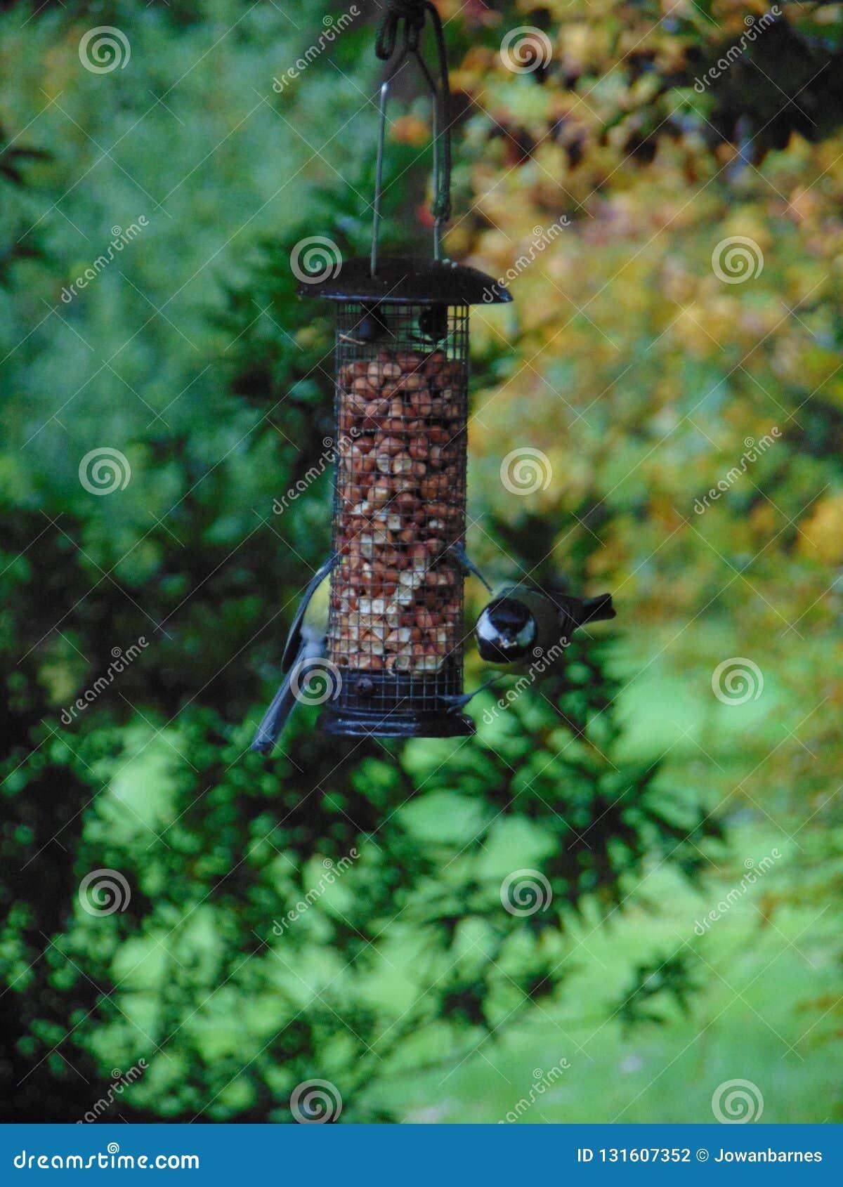 Fåglar på en förlagematare - talgoxar