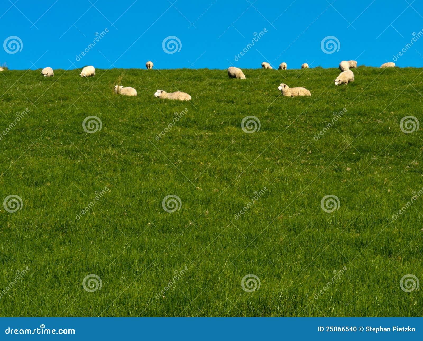 Får för kull för flock gräs- betande gröna lazily