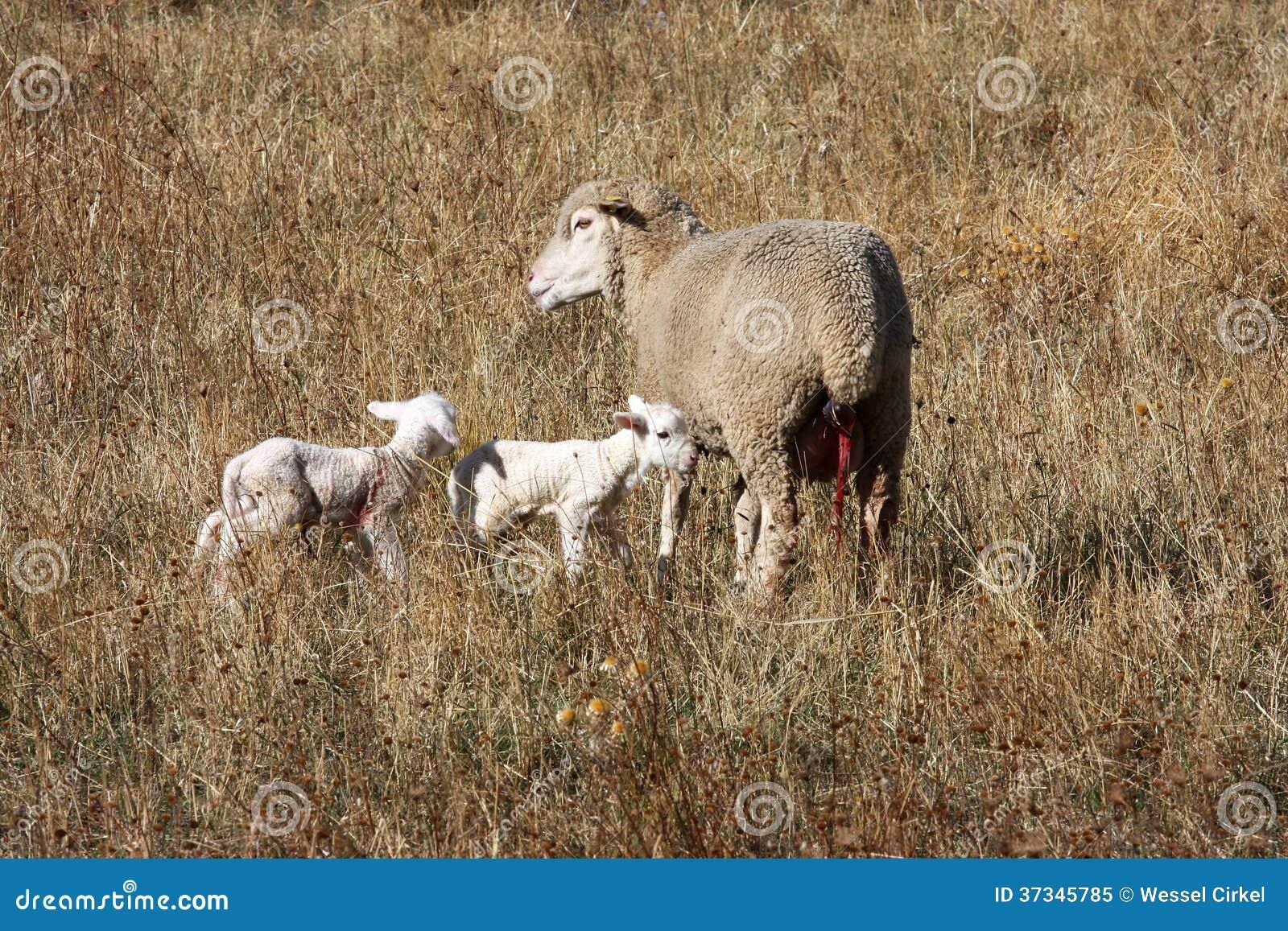 Får och nyfödda lamm i Gran Sasso parkerar, Italien