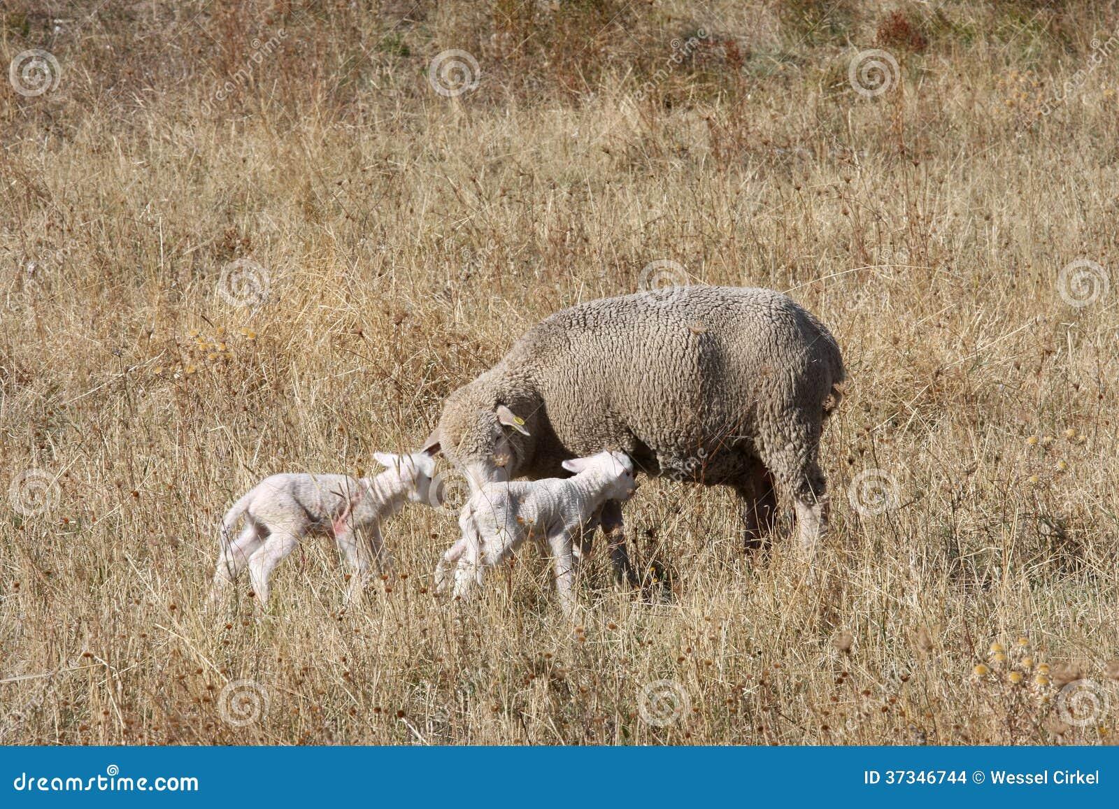 Får och nyfödda lamm i italienare Gran Sasso parkerar
