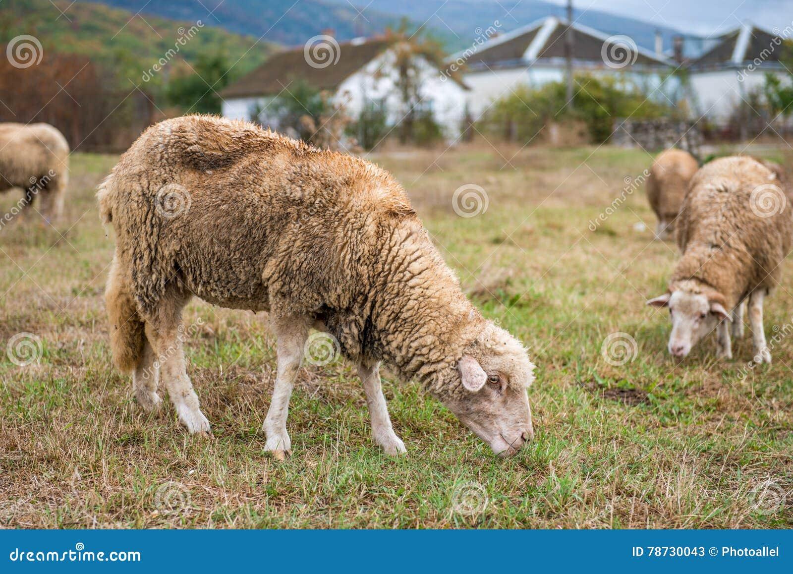 Får som betar på gräsmattan som äter gräs