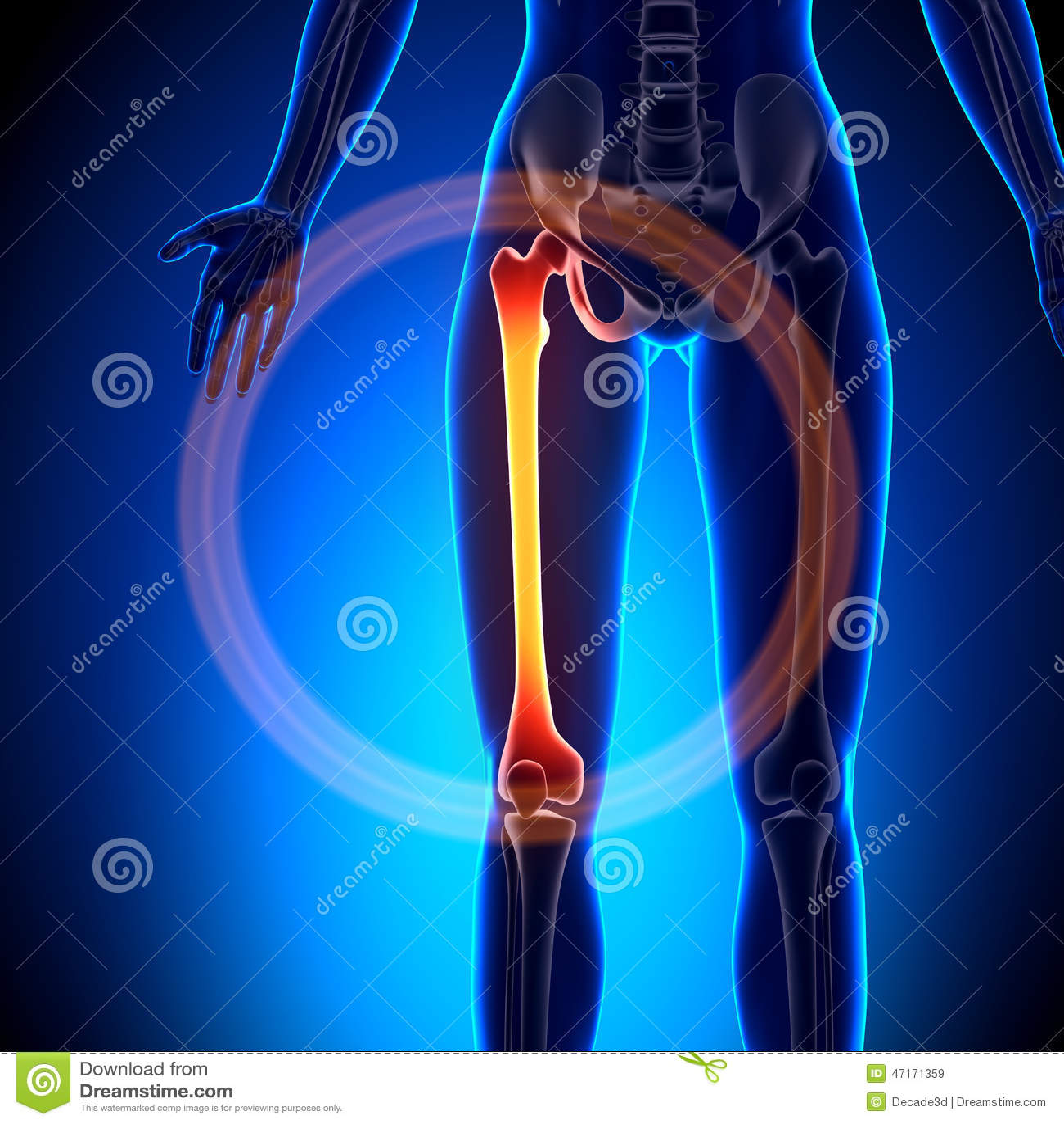 Fémur Femenino - Huesos De La Anatomía Stock de ilustración ...