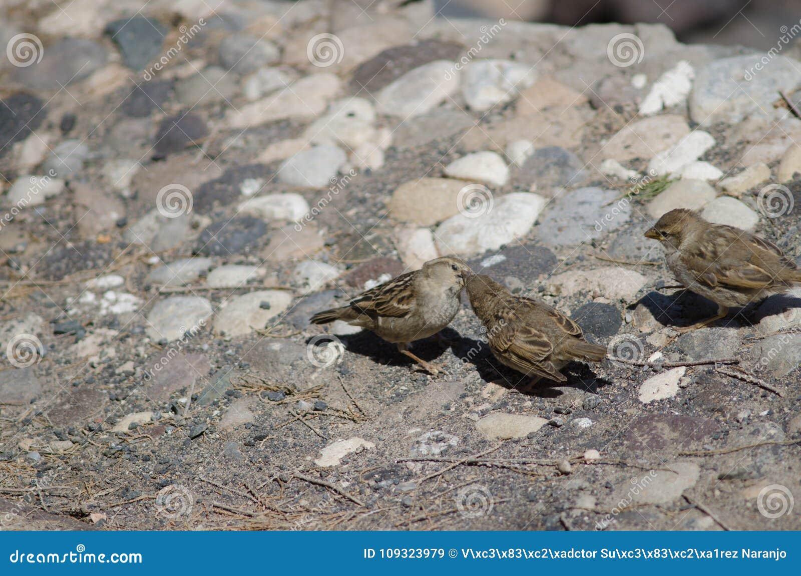 Fêmea do hispaniolensis espanhol do transmissor do pardal que alimenta a seus pintainhos