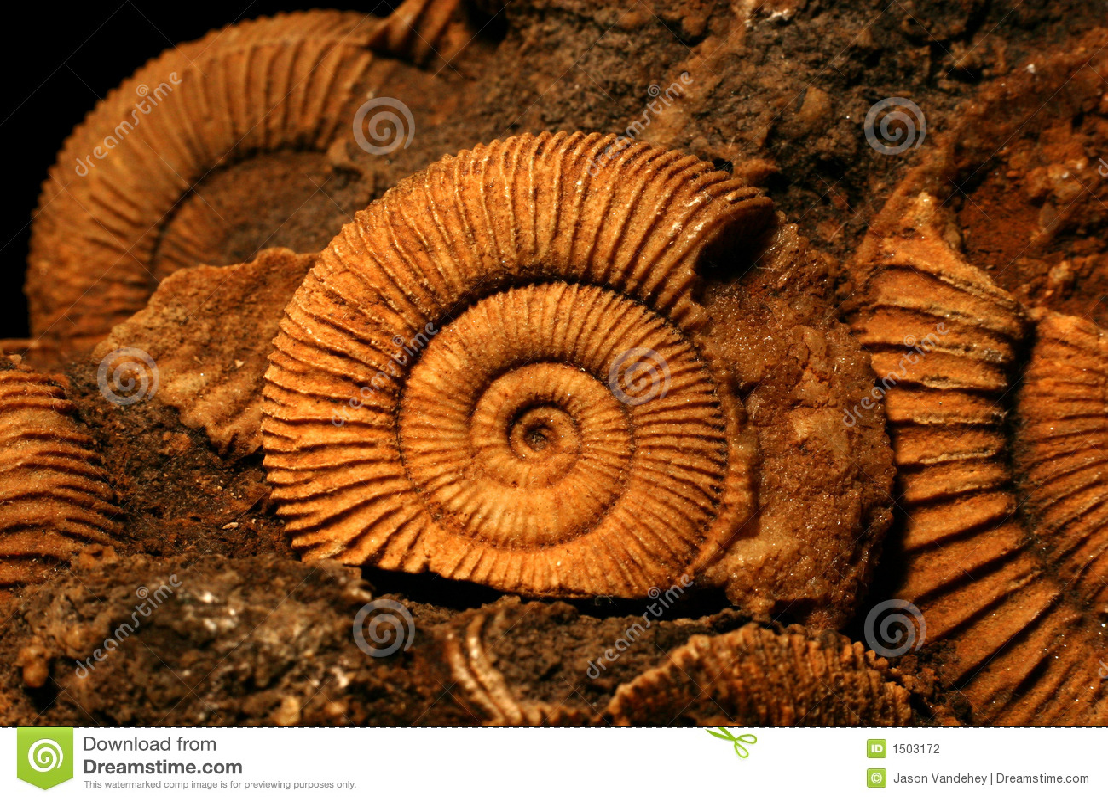 Fósseis da amonite