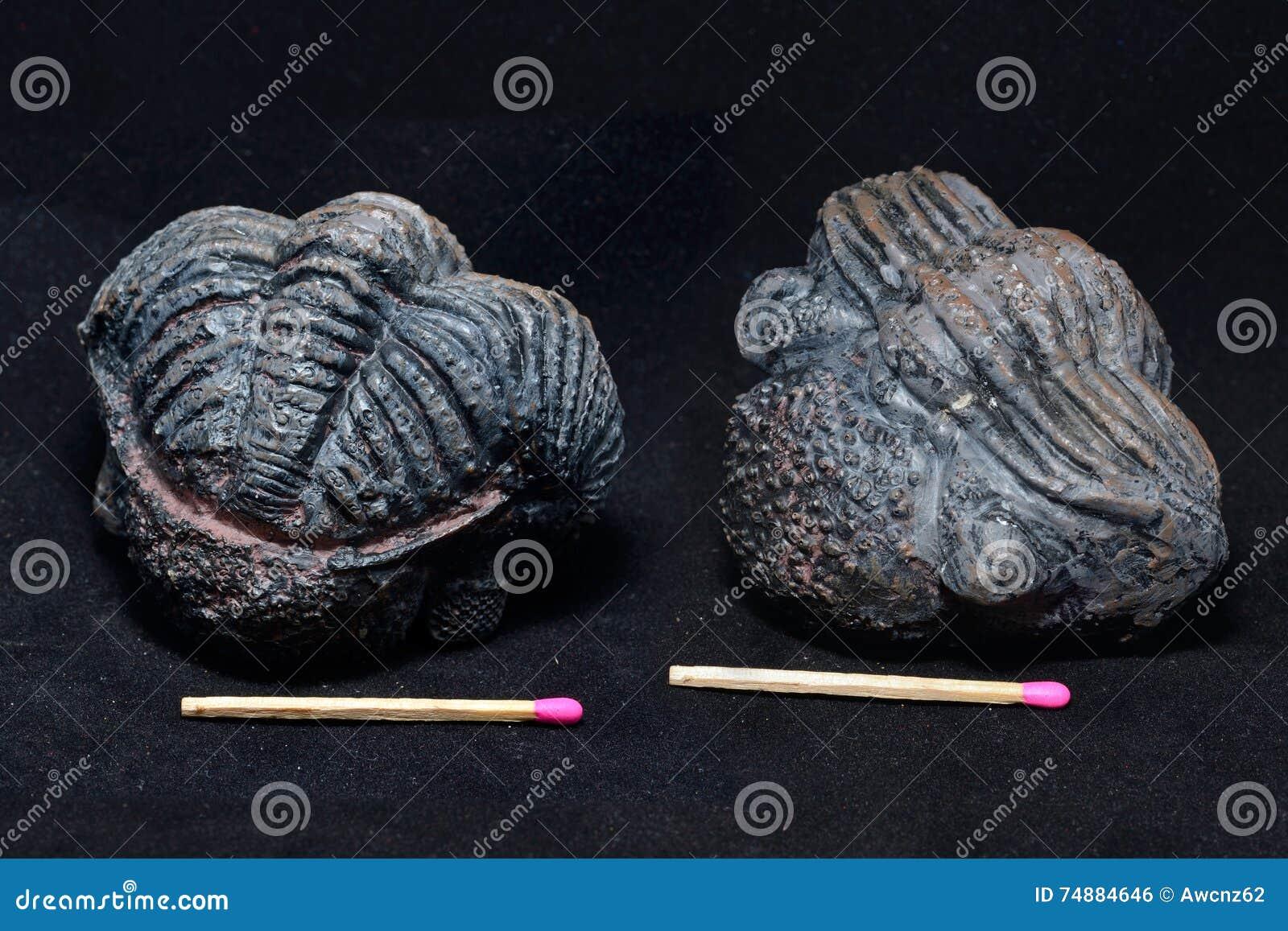 Fóssil de Trilobite