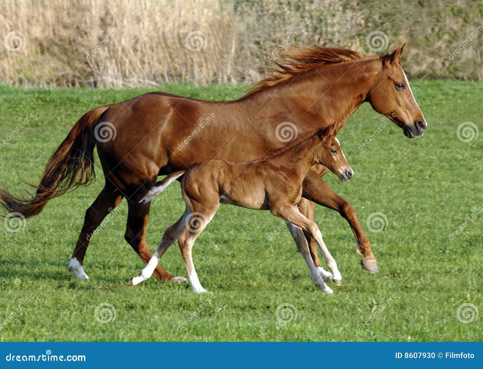 Fölhäst