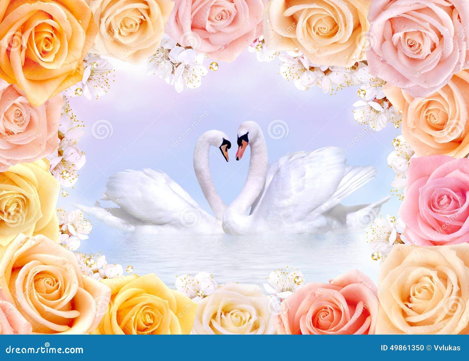 Förälskat för svanar som inramas av rosor och körsbärblommor
