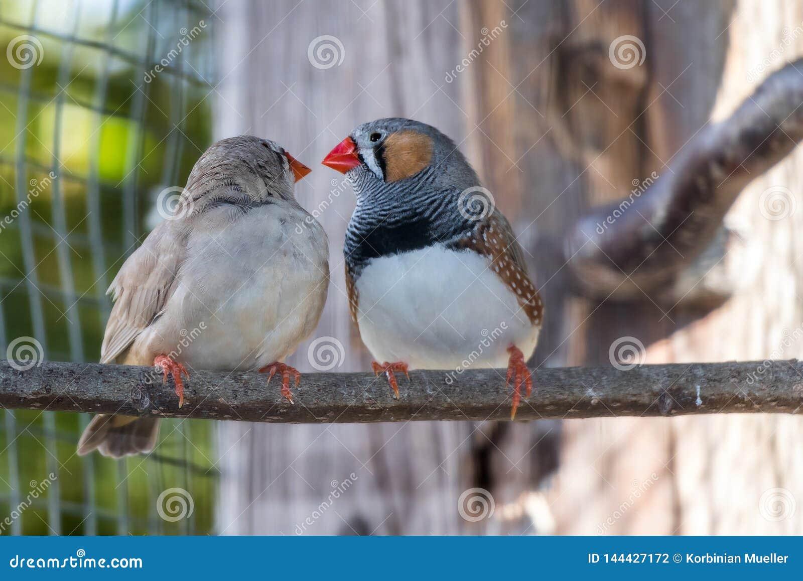 Förälskelse mellan 2 fåglar