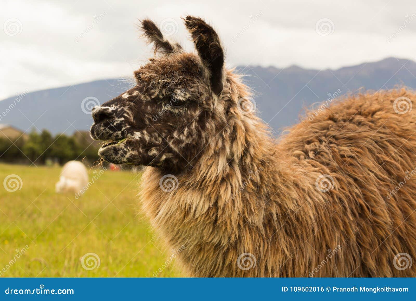 För alpacalantgård för slut övre brunt djur