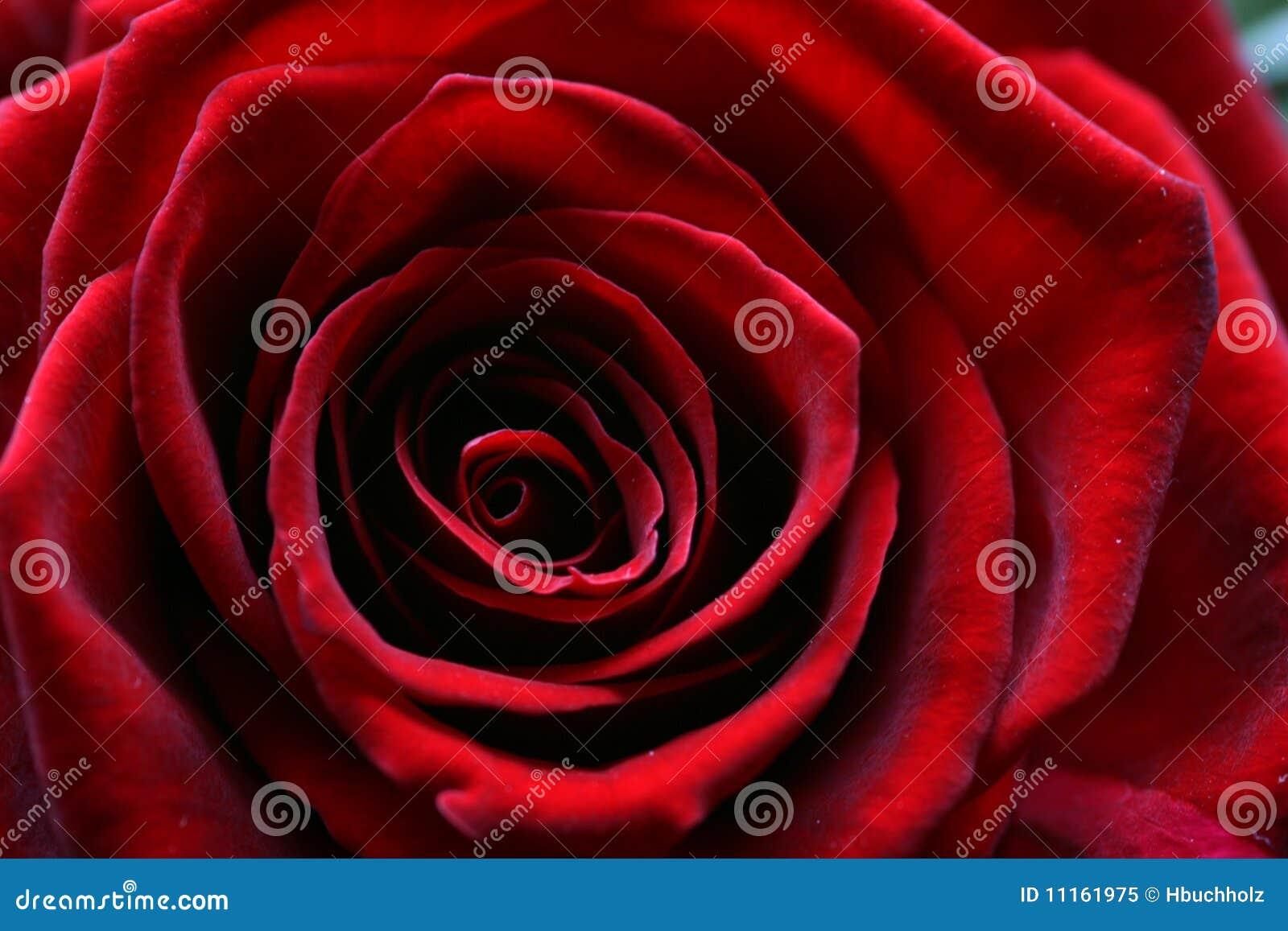 För bildmakroen för blom steg mörk full red