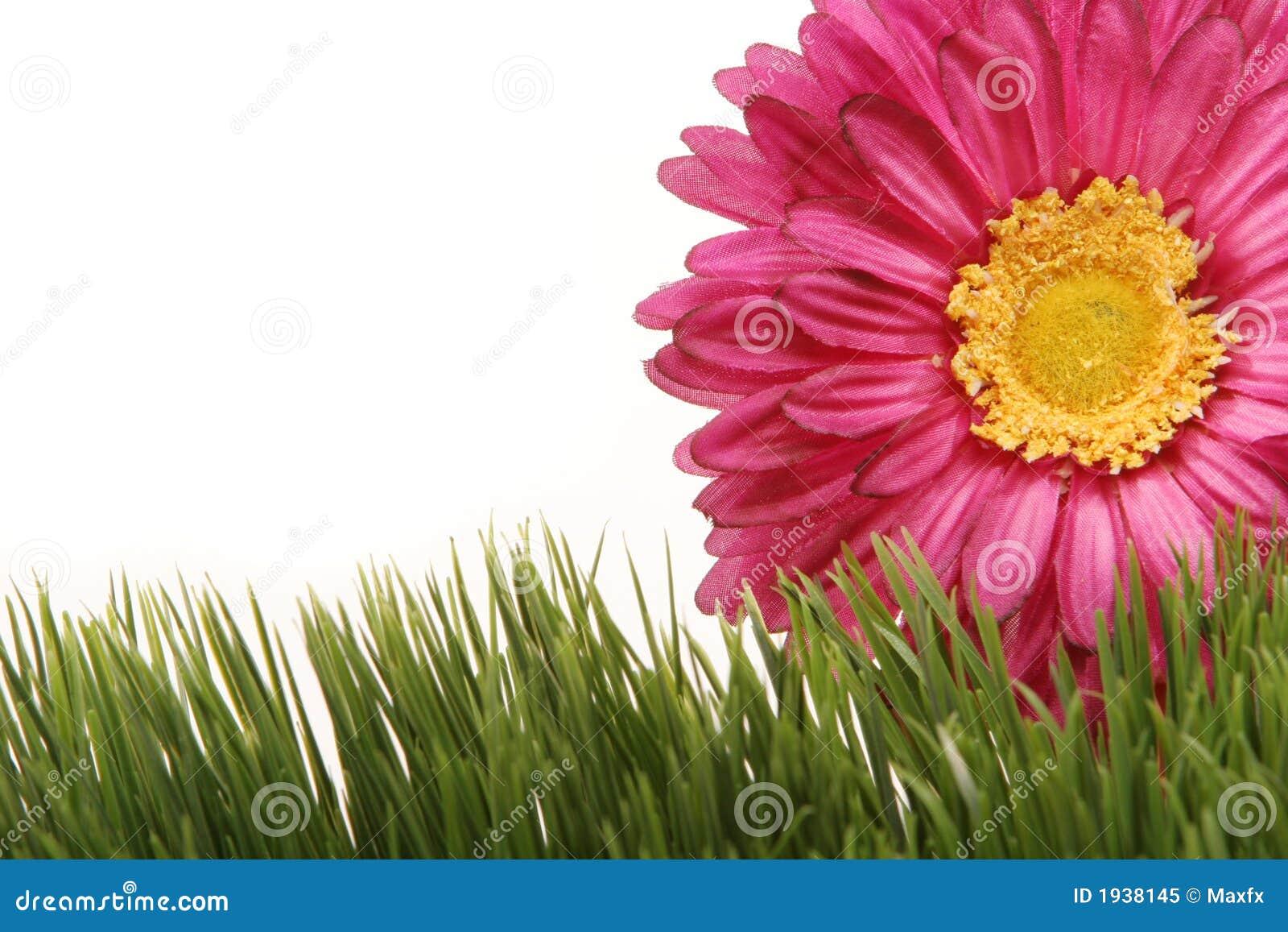 För den härliga green för gräs för gerberaen tusenskönablomman för bakgrund isolerade fuchsia w