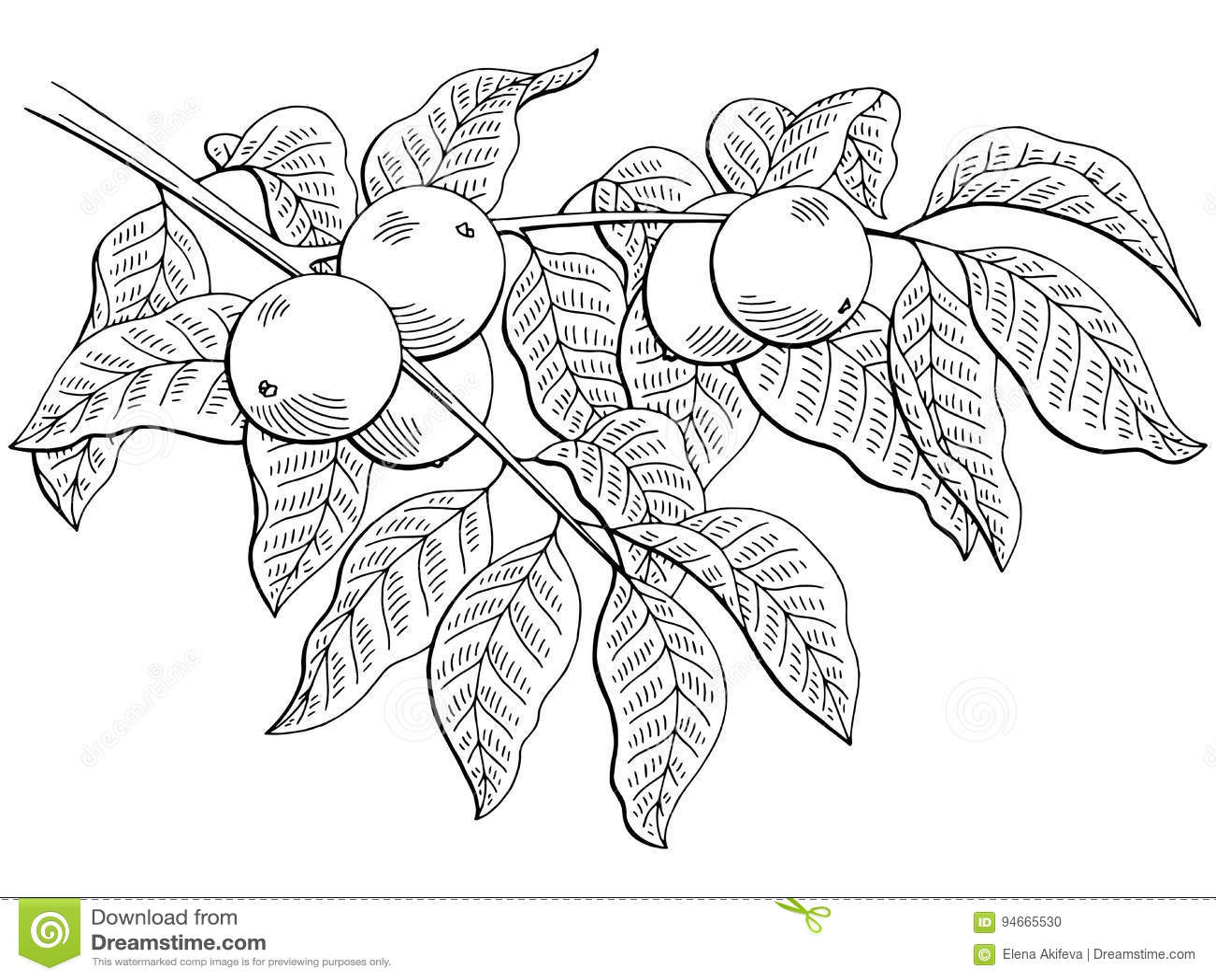 För filialsvart för valnöten skissar isolerad grafisk vit illustrationen