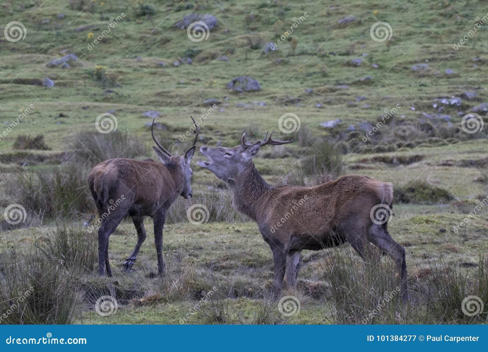 För fullvuxen hankronhjortbock för röda hjortar brunstig stående