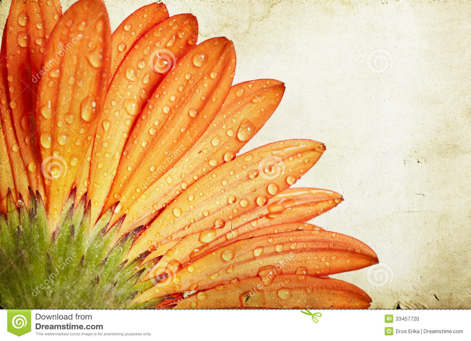 För gerberatusensköna för Closeup orange blomma