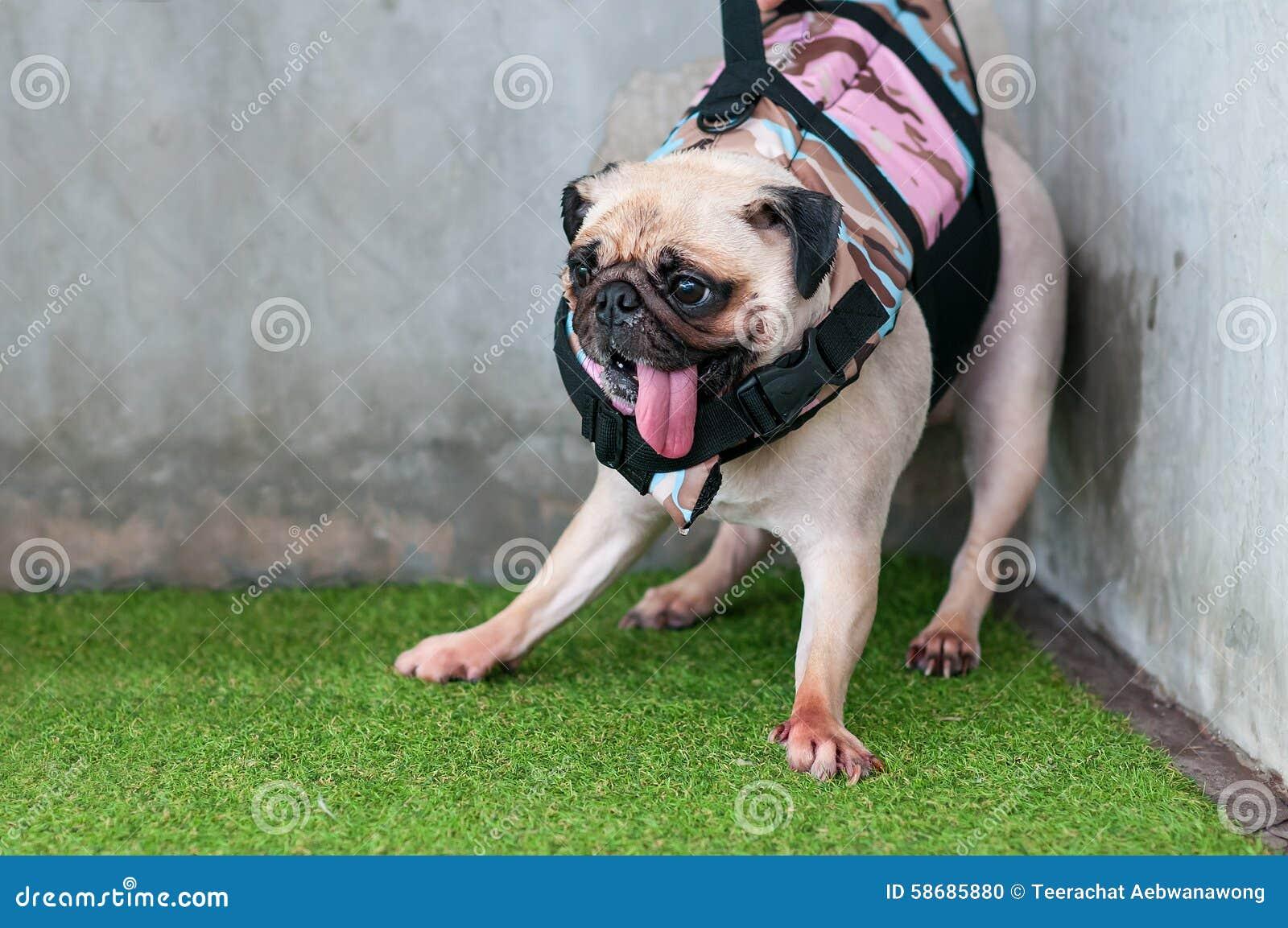 För hundmops för närbild våt gullig skräck för valp att spela vatten på hörnet