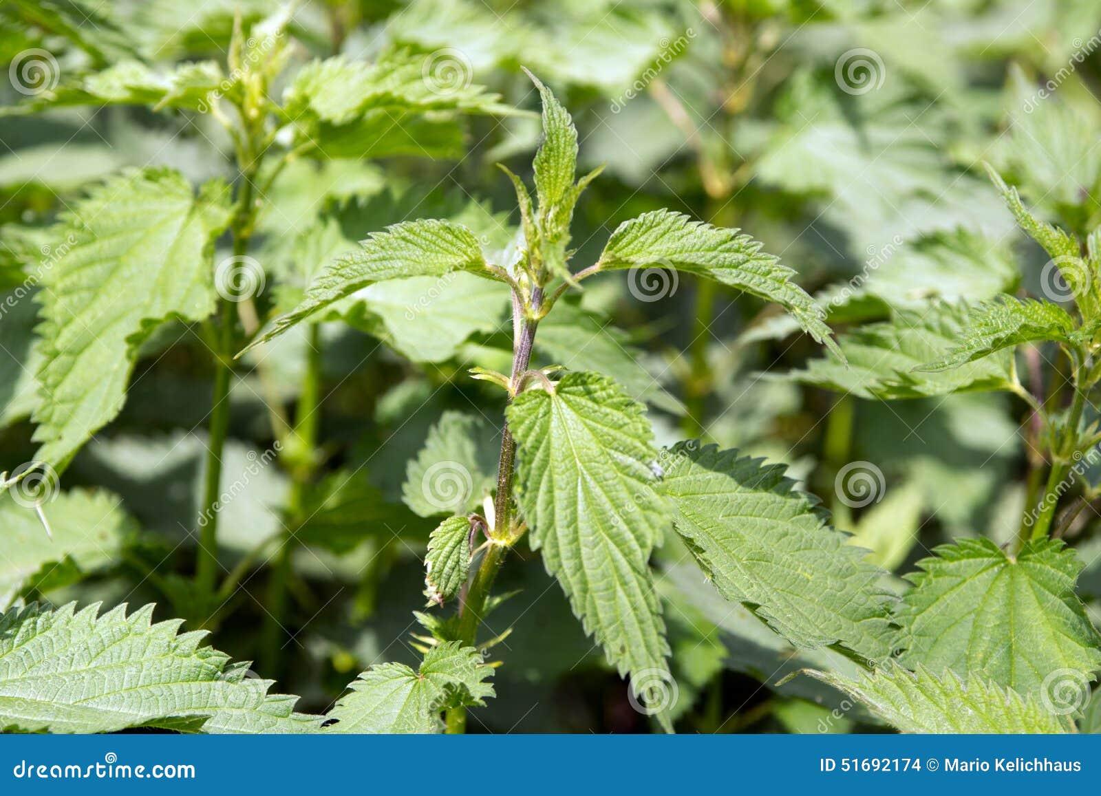 För irritera wild sticka urtica nässlaväxt för dioica