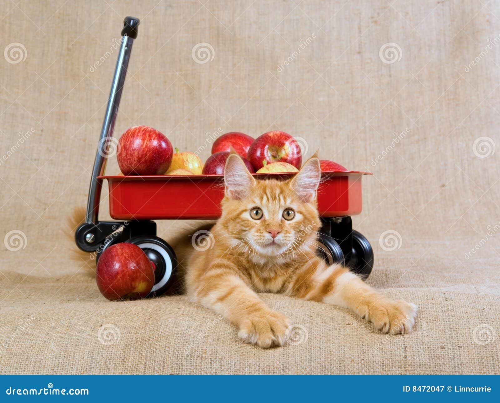 För kattungemaine mc för coon gullig vagn red