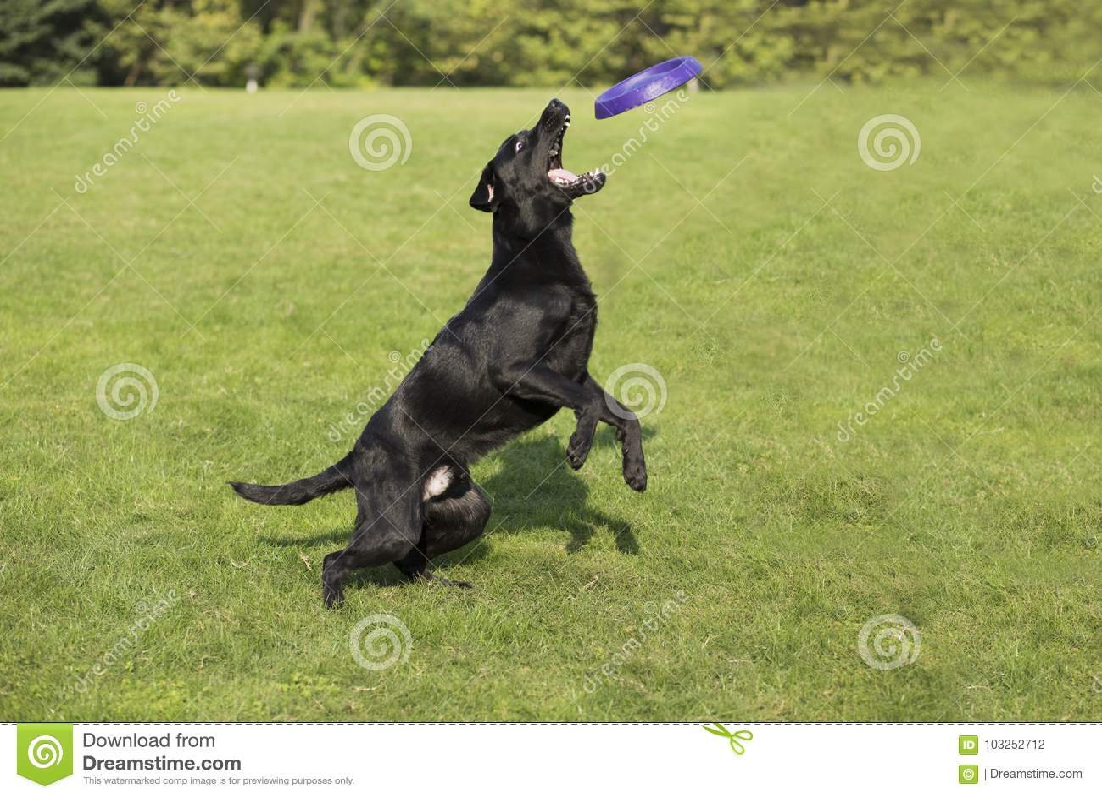 För labrador för bakgrundshund grå sikt för retriever för baksida valp