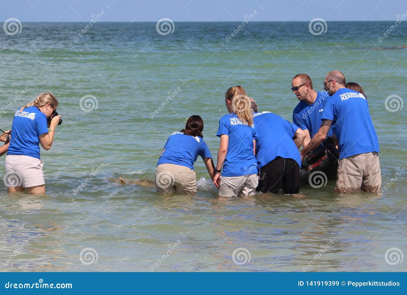 För Loggerheadhav för rött tidvatten sköldpadda släppt av det Florida akvariet i Augusti 2017