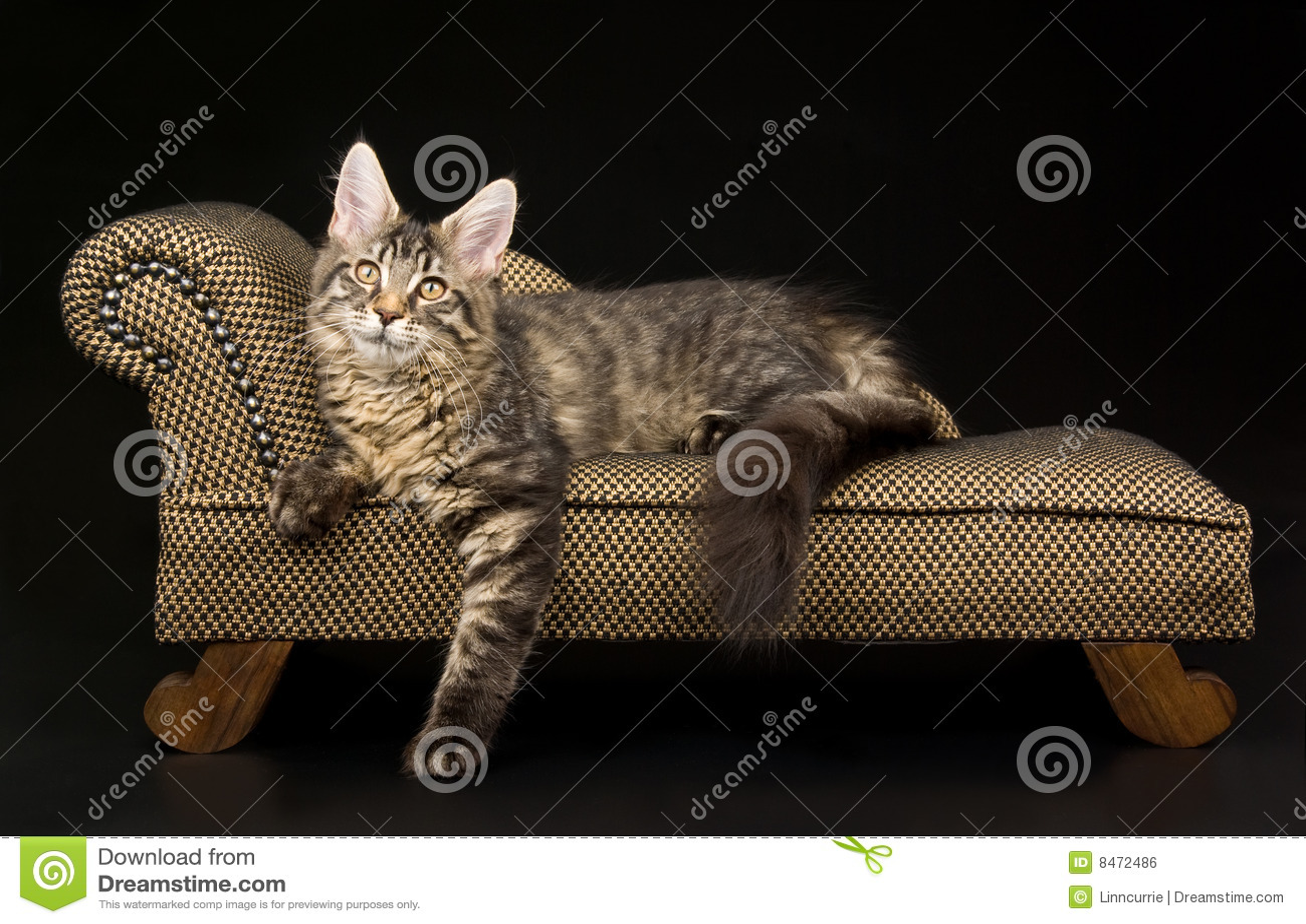 För maine för svart coonkattunge tabby nätt sofa