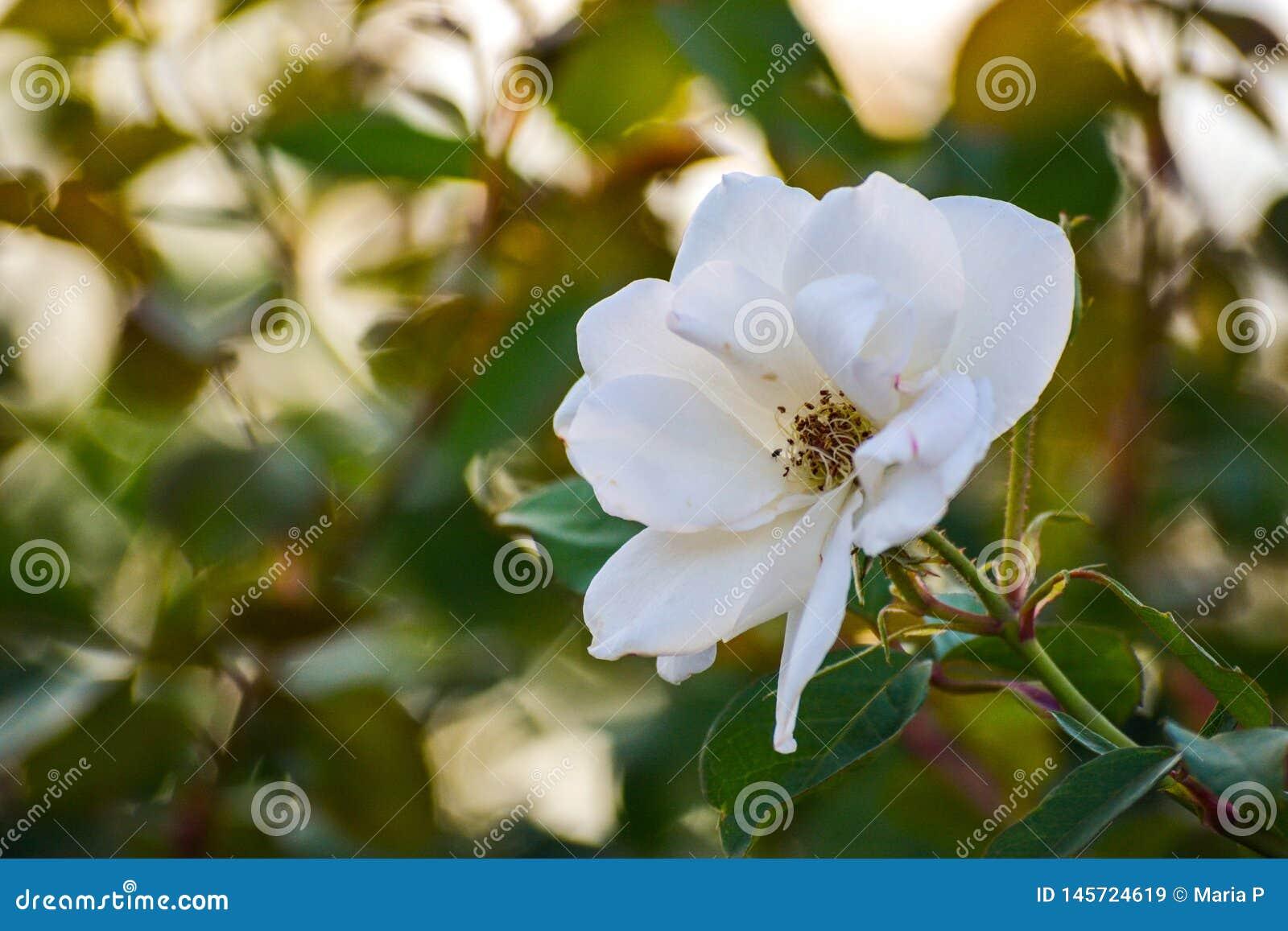 För makrocloseupen för den vita blomman bakgrund för landskapet för naturen för det fria för ståenden för kronblad för blom för s