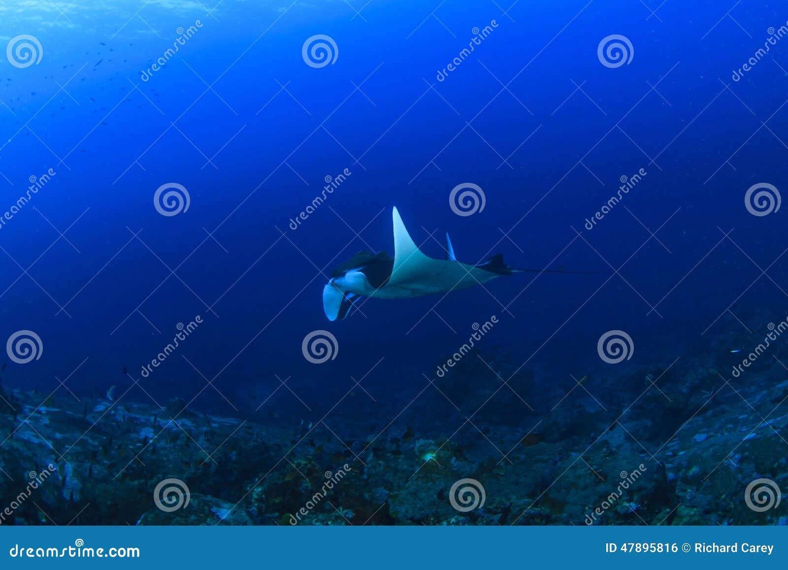 För maldives för adduatoll indisk stråle för hav manta