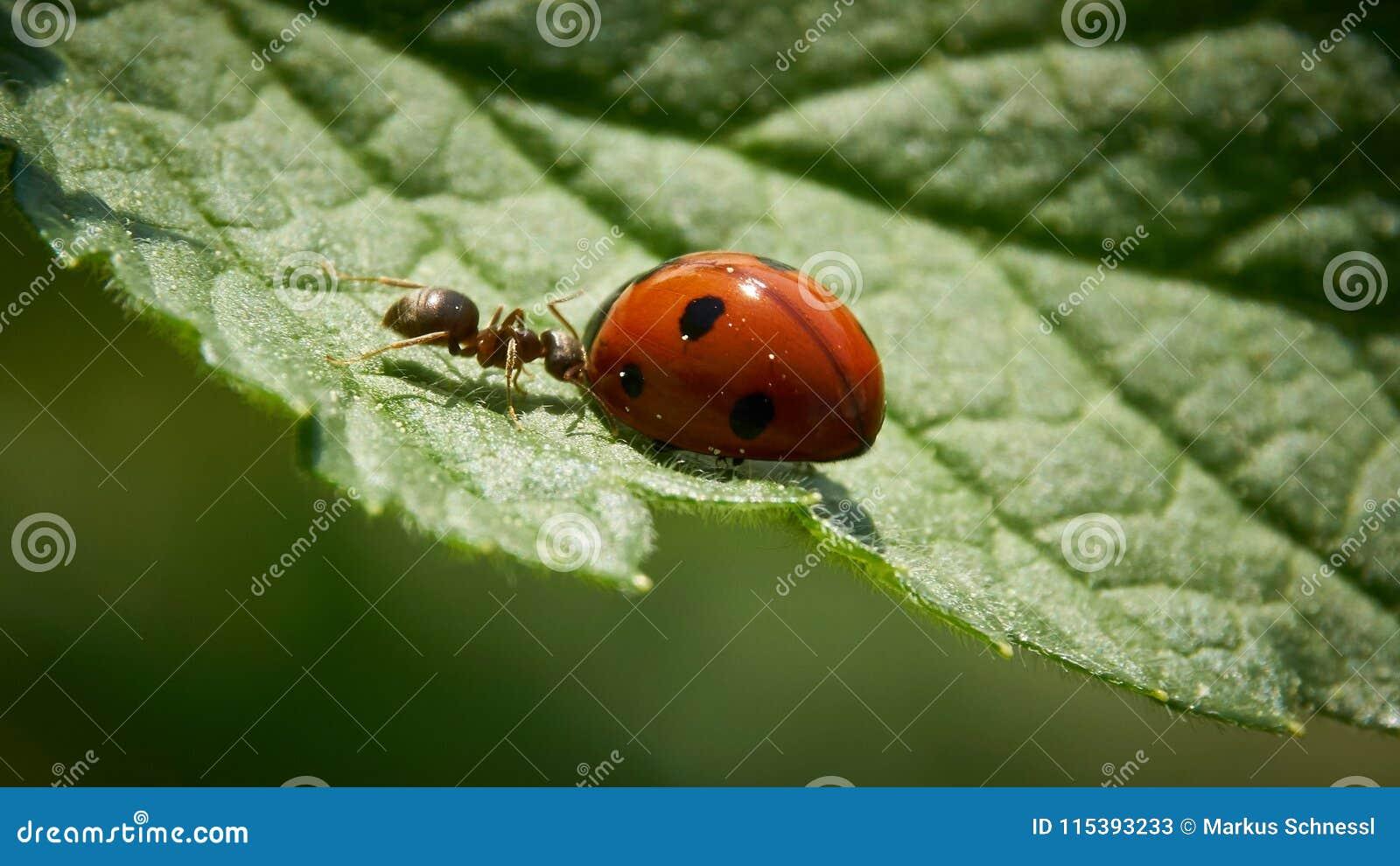 För myra nyckelpiga kontra