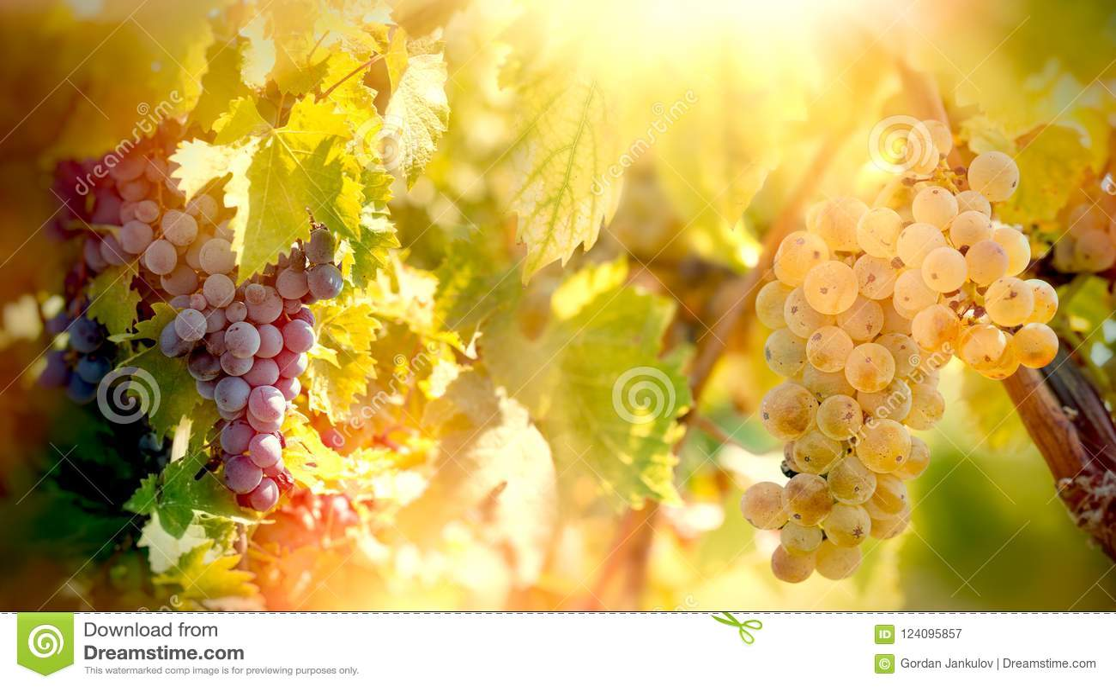 För Riesling för vita och röda druvor för druva - druva vin på vinrankor, på vinranka i vingård
