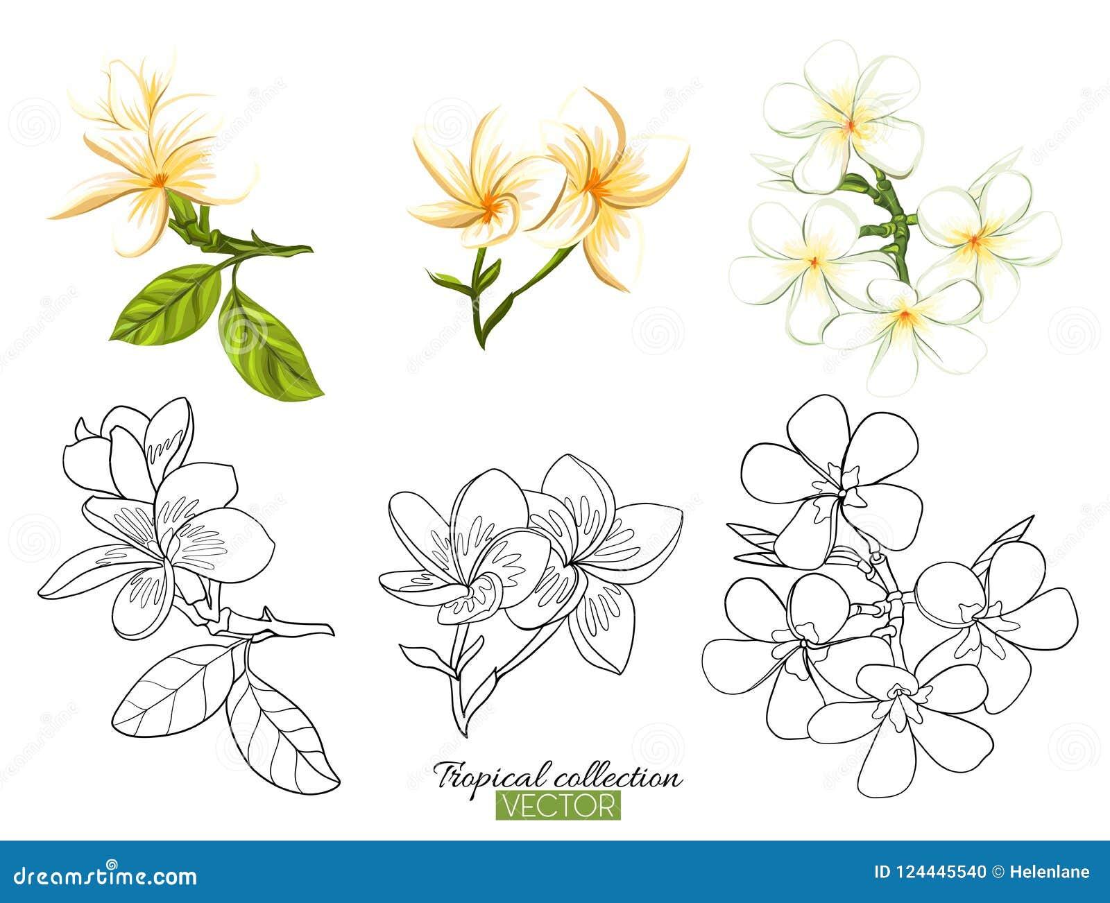 För samlingsvektor för tropisk växt som illustration isoleras på vit
