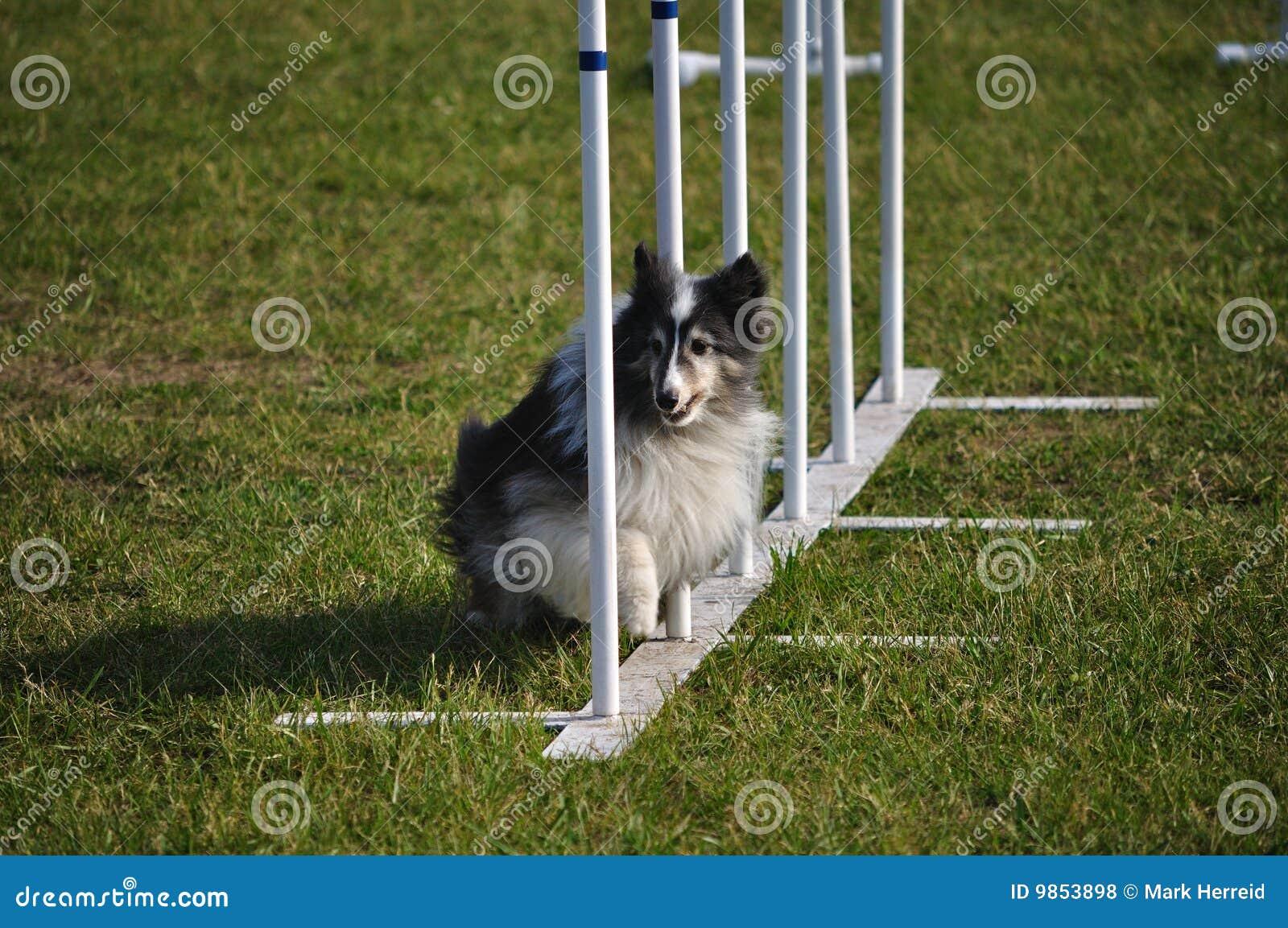 För Sheltie för Shetland Sheepdog agility för poler väv