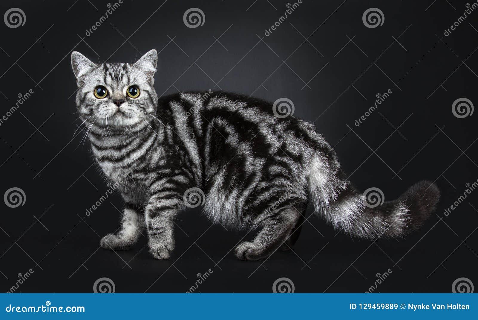 För Shorthair för utmärkt svartsilverstrimmig katt som flammiga brittiska kattungar katt isoleras på svart bakgrund