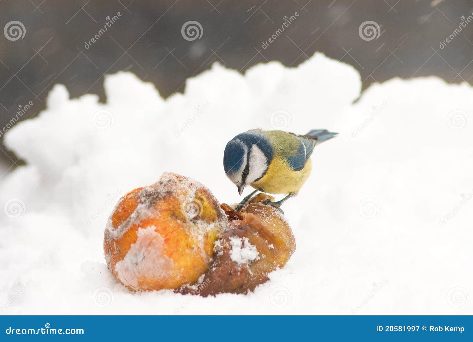 För snowtit för äpplen blå europeisk picka vinter